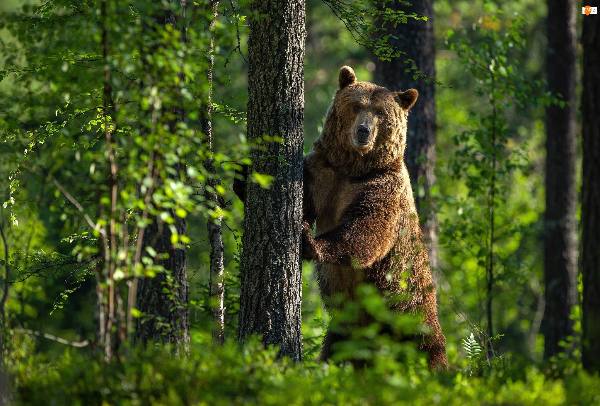 Zieleń, Niedźwiedź, Las, Drzewo
