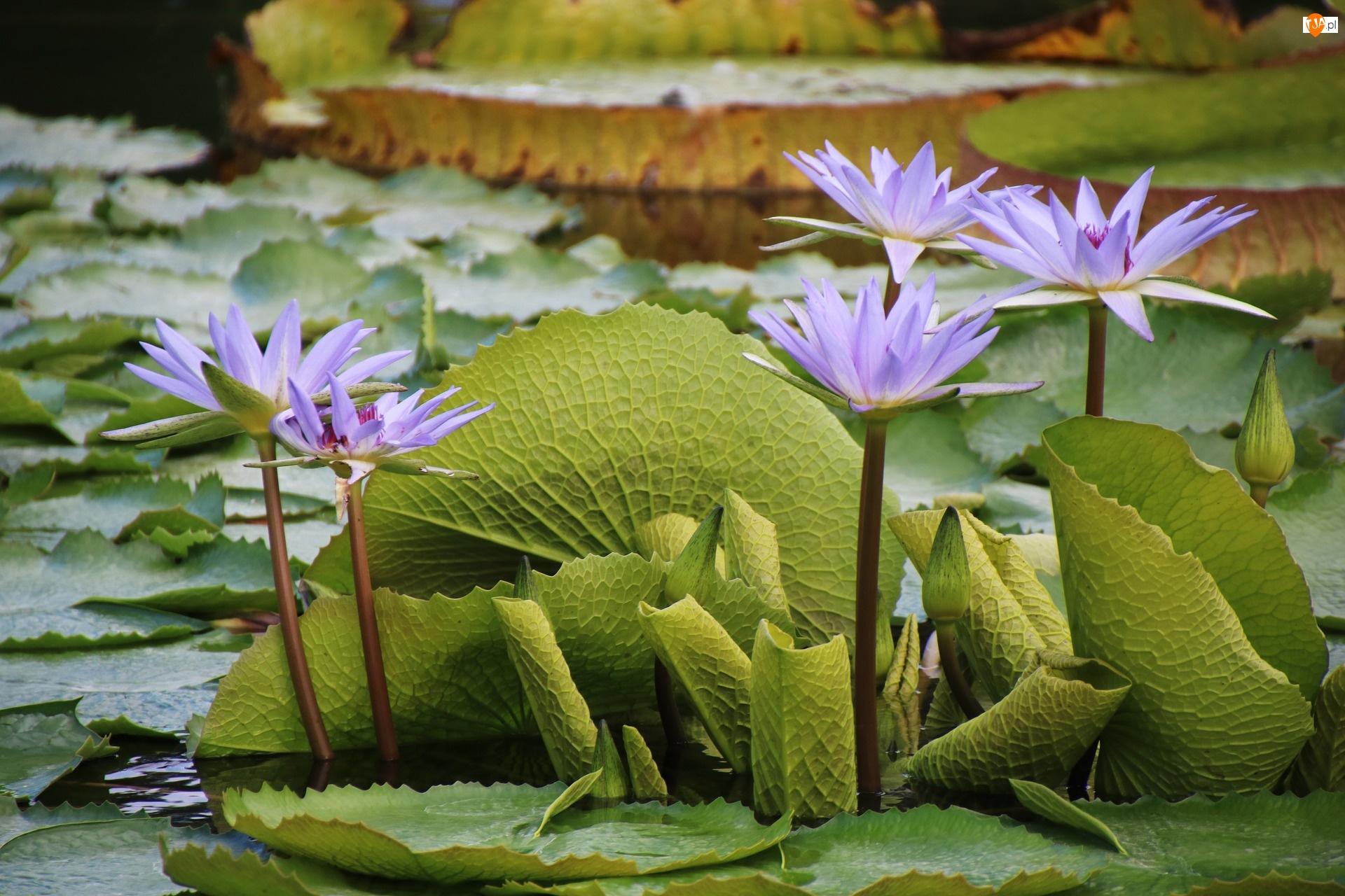 Lilie wodne, Liście, Niebieskie, Kwiaty, Grzybienie