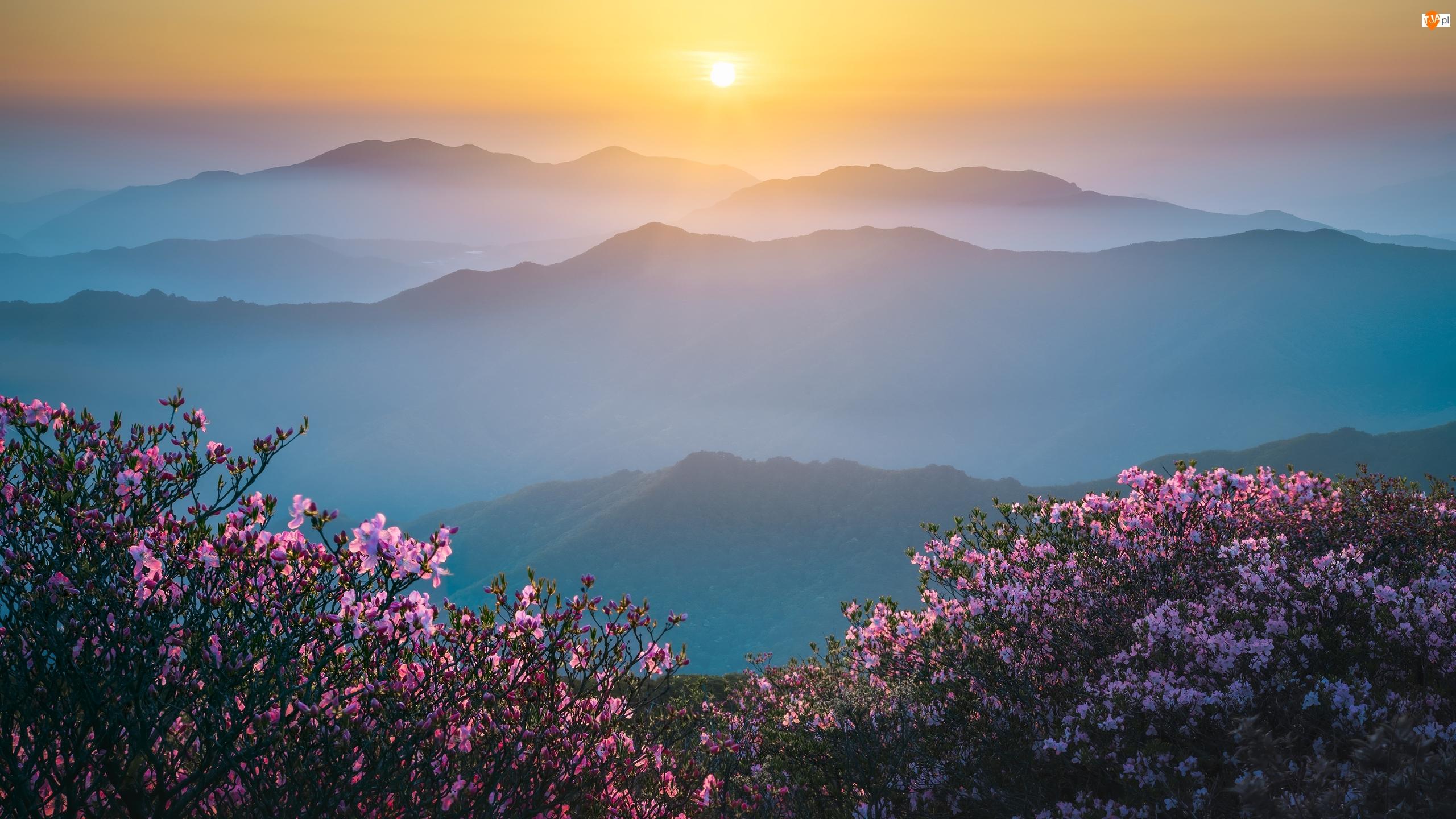 Wschód słońca, Mgła, Różaneczniki, Góry, Krzewy, Kwiaty, Różowe