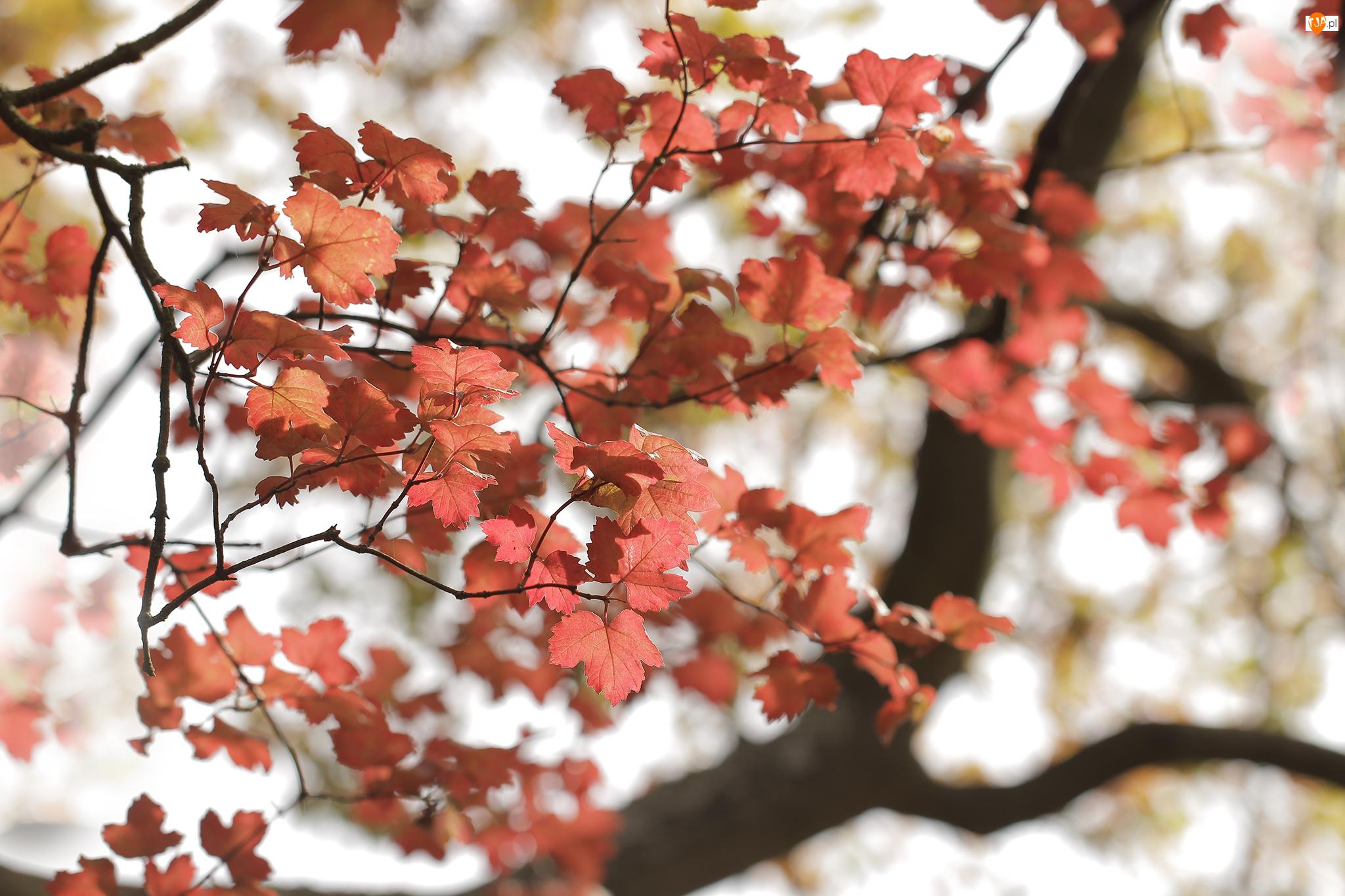 Liście, Gałązki, Czerwone, Jesienne