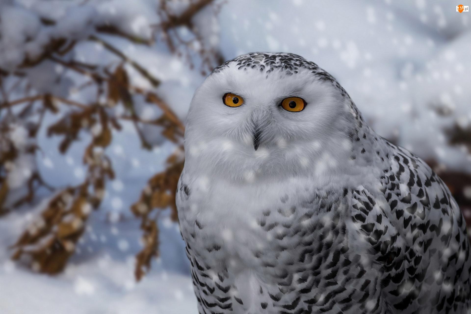 Zima, Sowa śnieżna, Ptak