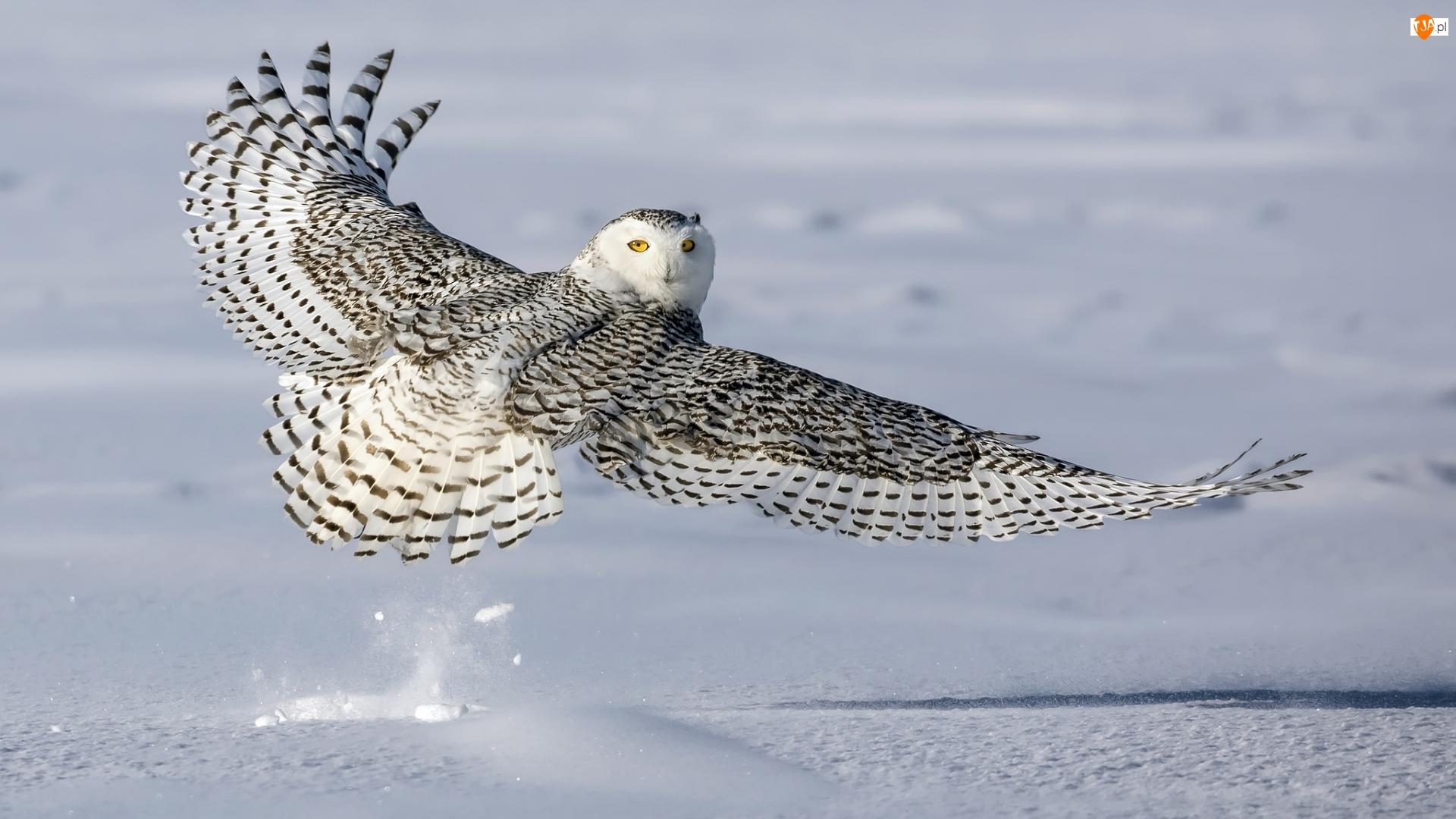 Rozpostarte, Śnieg, Sowa śnieżna, Ptak, Skrzydła