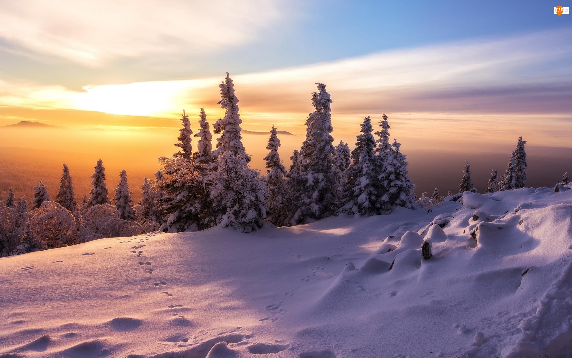 Świerki, Mgła, Ośnieżone, Zima, Wschód słońca