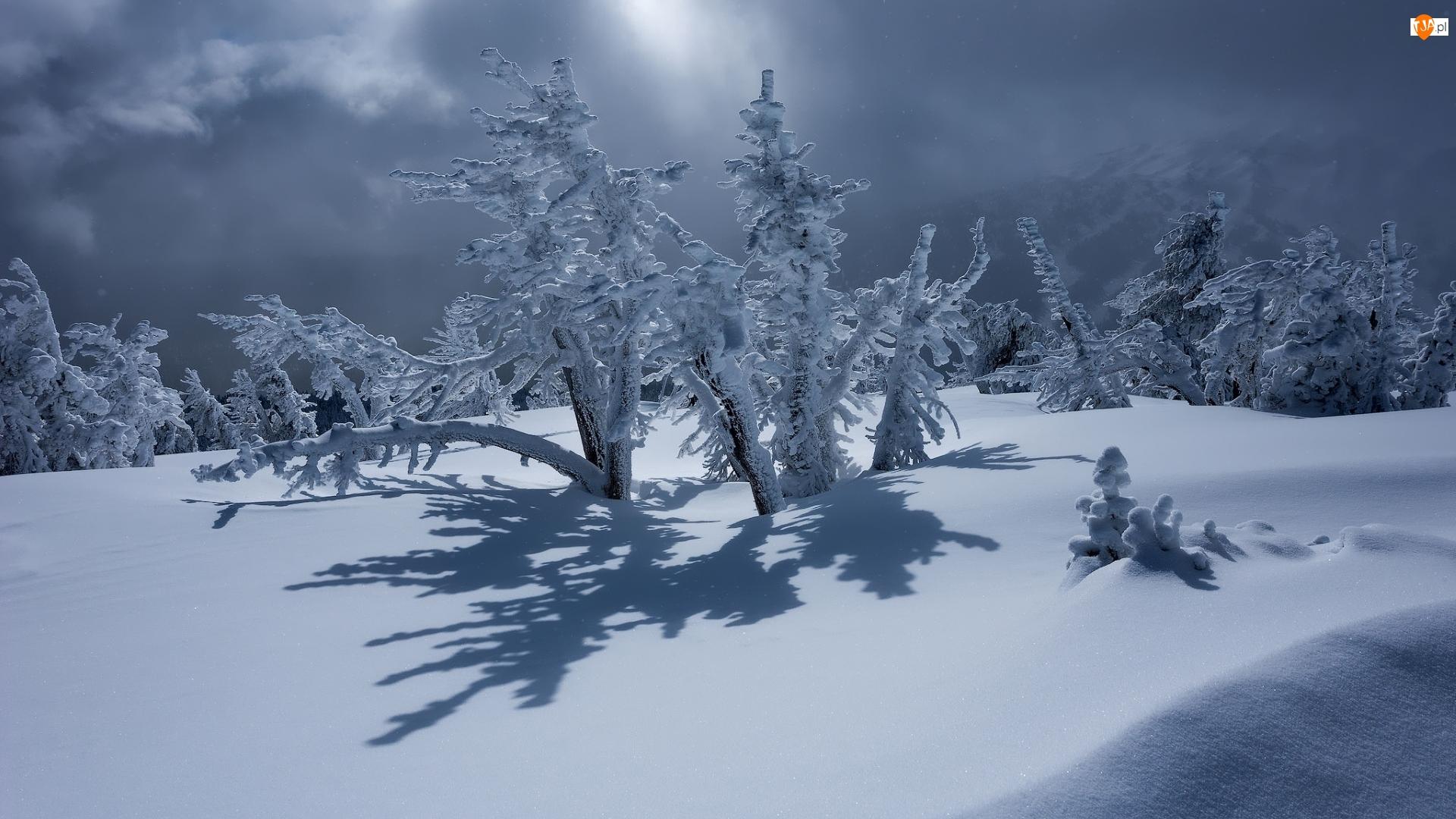 Ośnieżone, Krzewy, Śnieg, Zima, Drzewa
