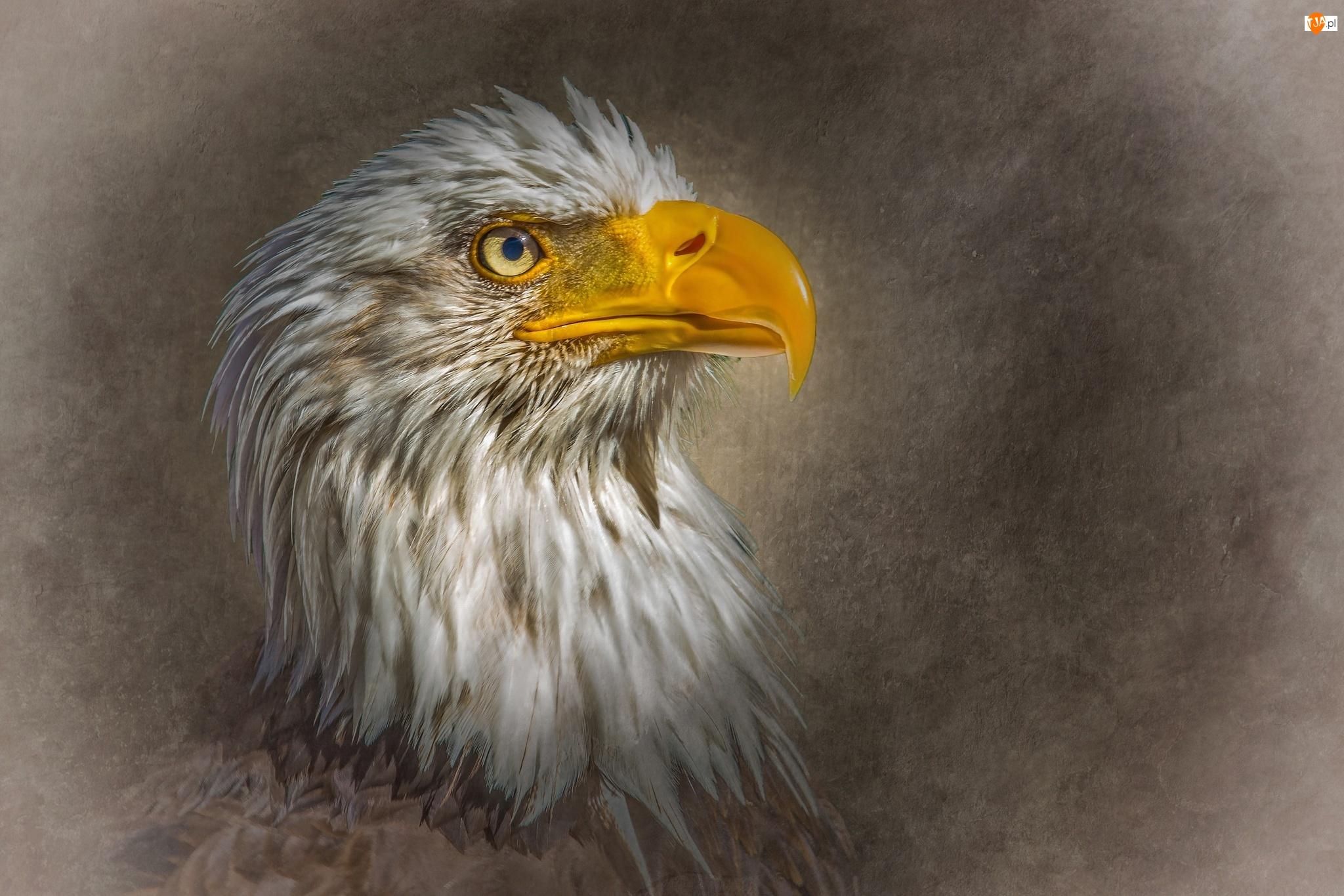 Grafika, Ptak, Bielik amerykański