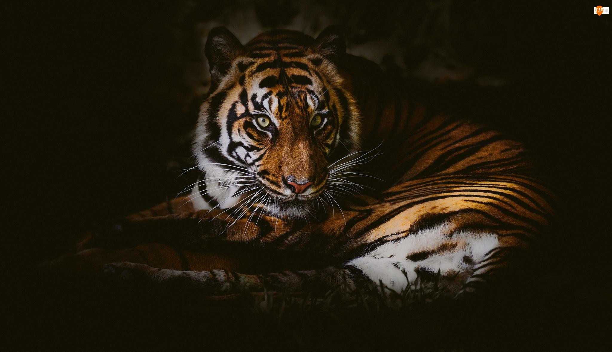 Tło, Tygrys, Czarne