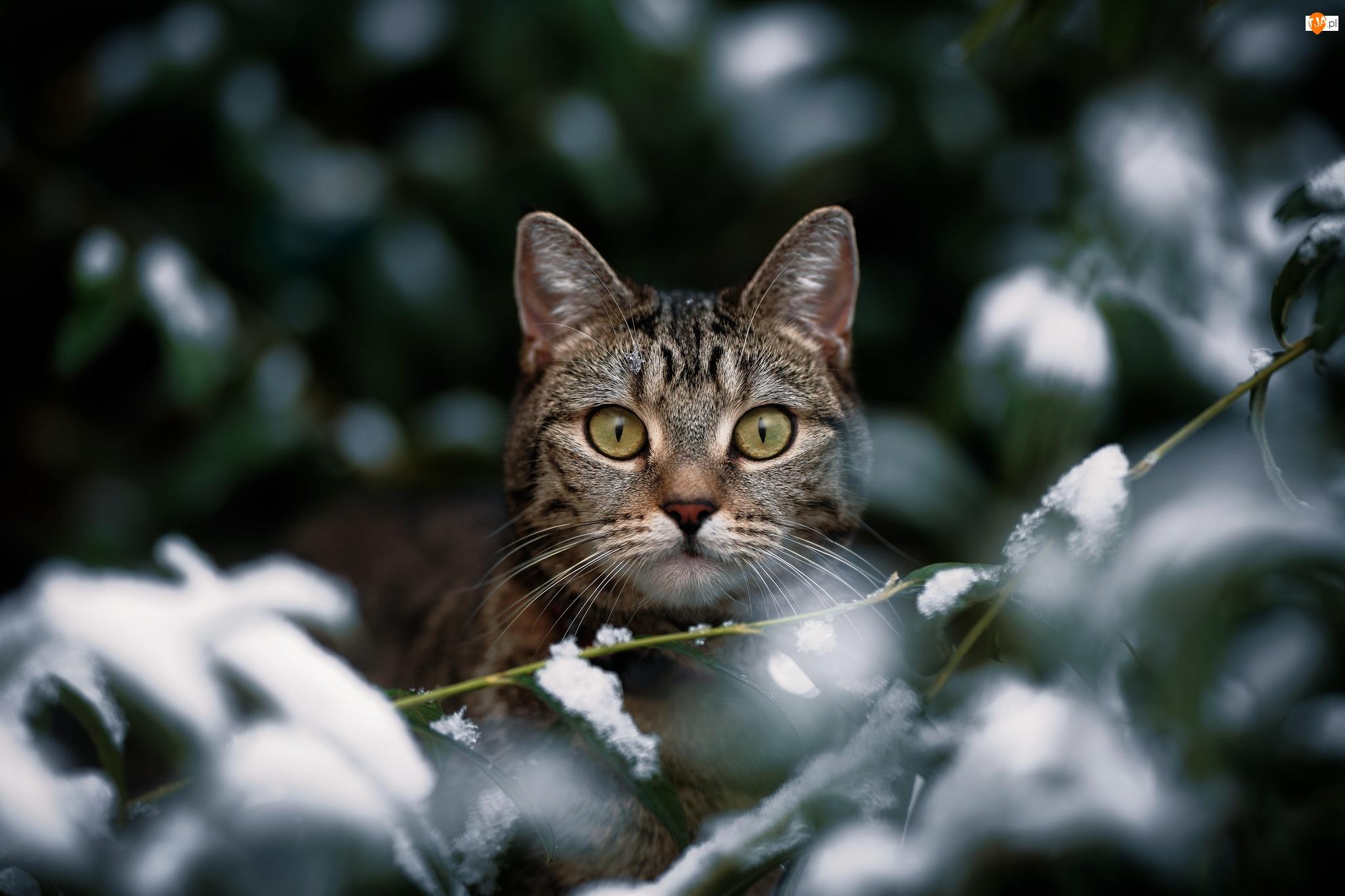 Śnieg, Kot, Spojrzenie, Gałązki