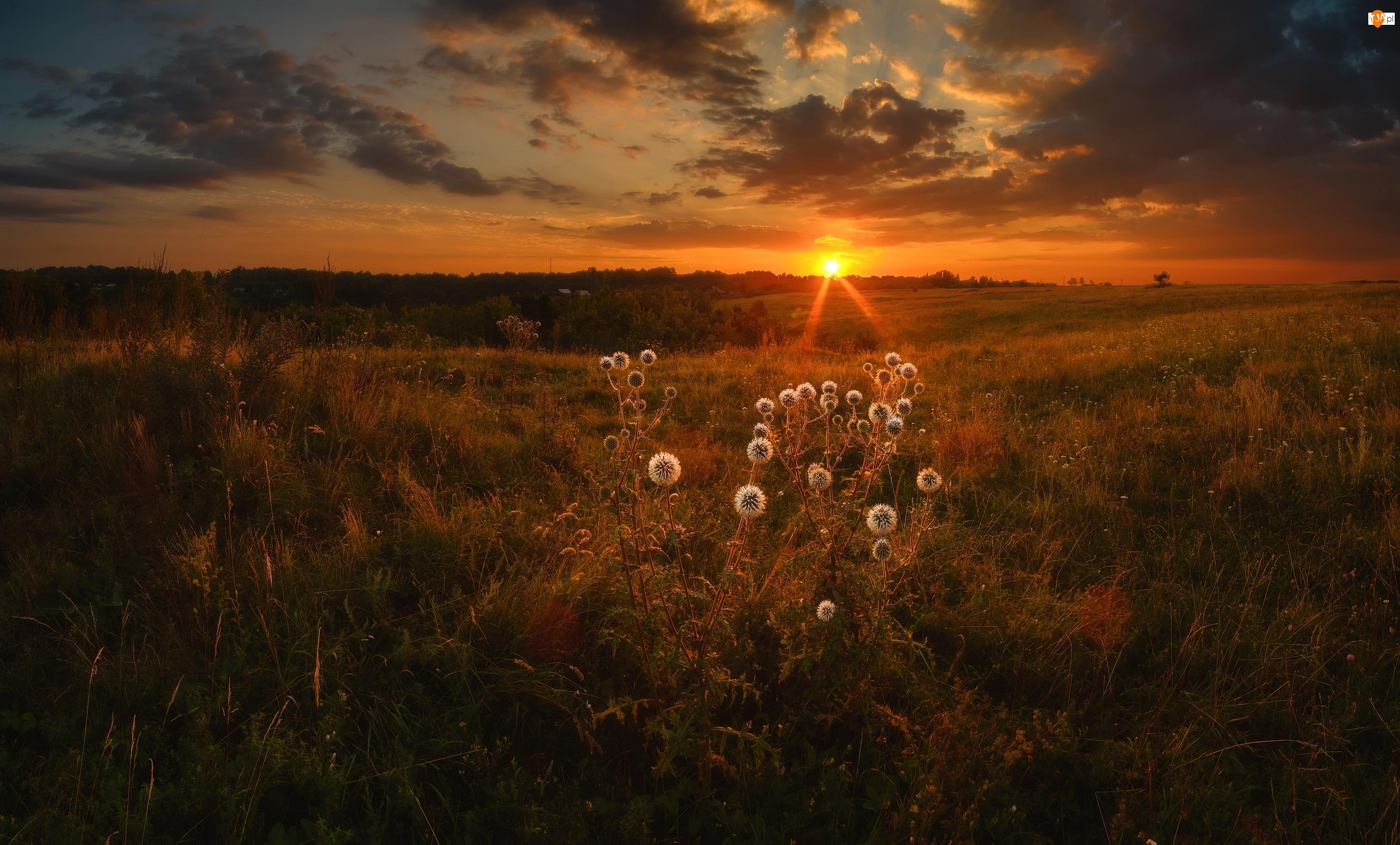 Przegorzan kulisty, Zachód słońca, Łąki, Rośliny
