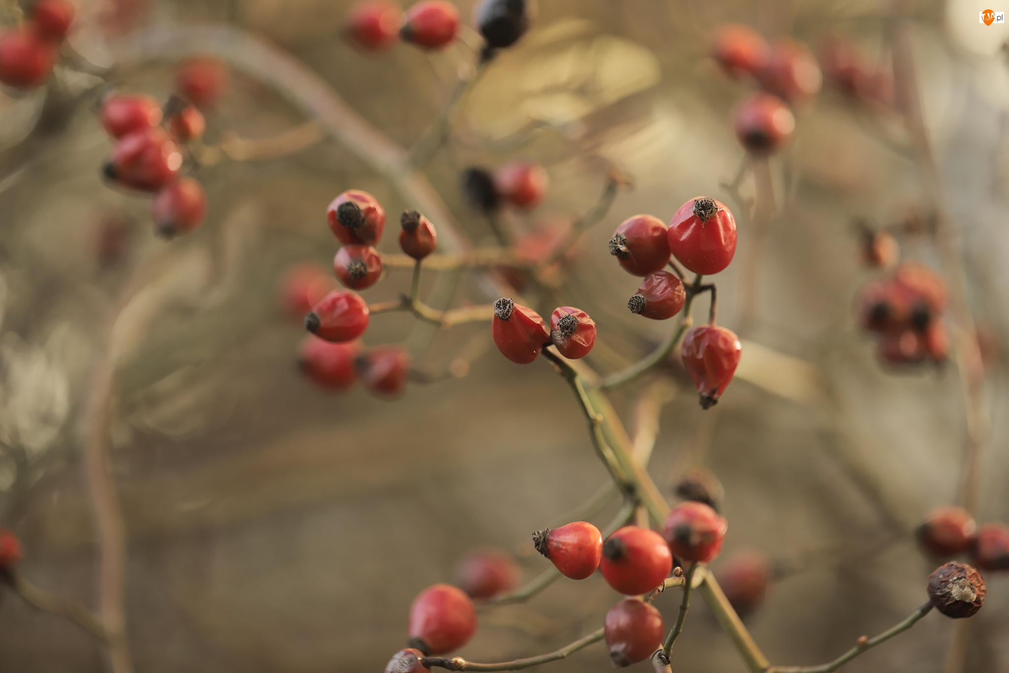 Owoce, Dzika róża, Czerwone