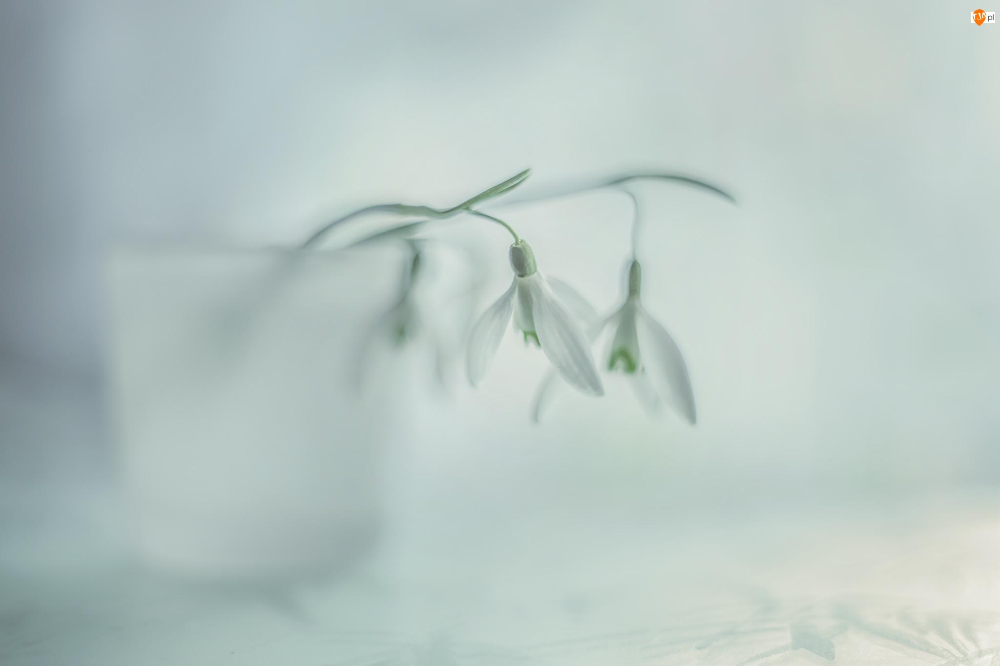Białe, Przebiśniegi, Kwiaty