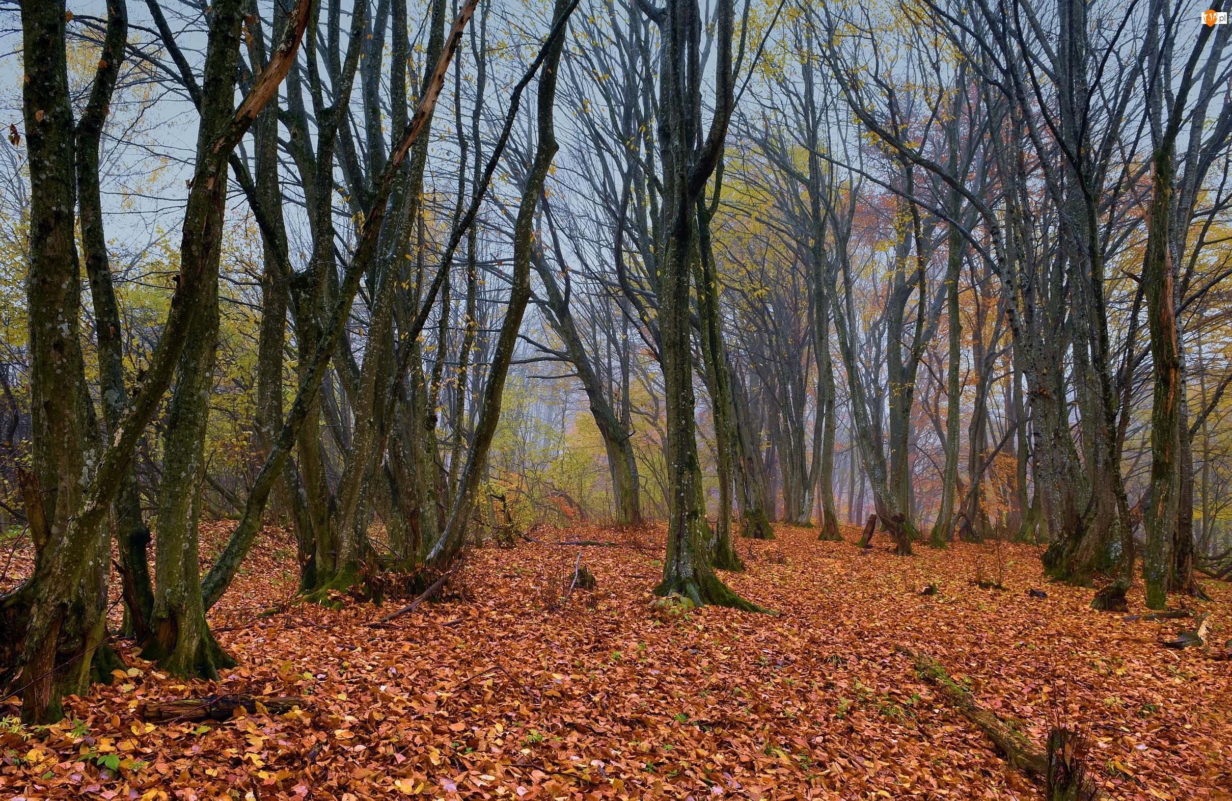 Drzewa, Opadłe, Las, Jesień, Liście