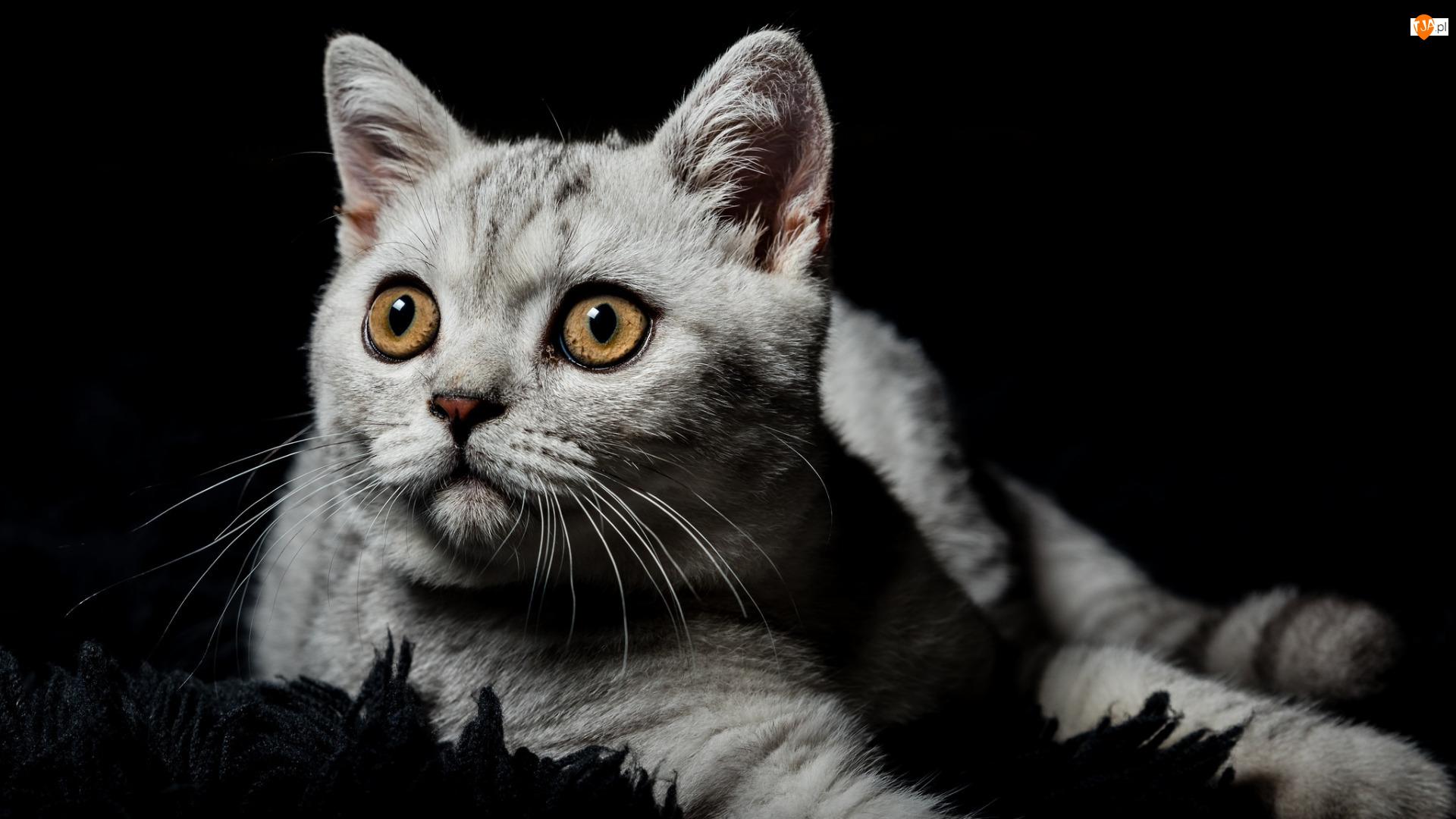 Oczy, Kot brytyjski, Miodowe