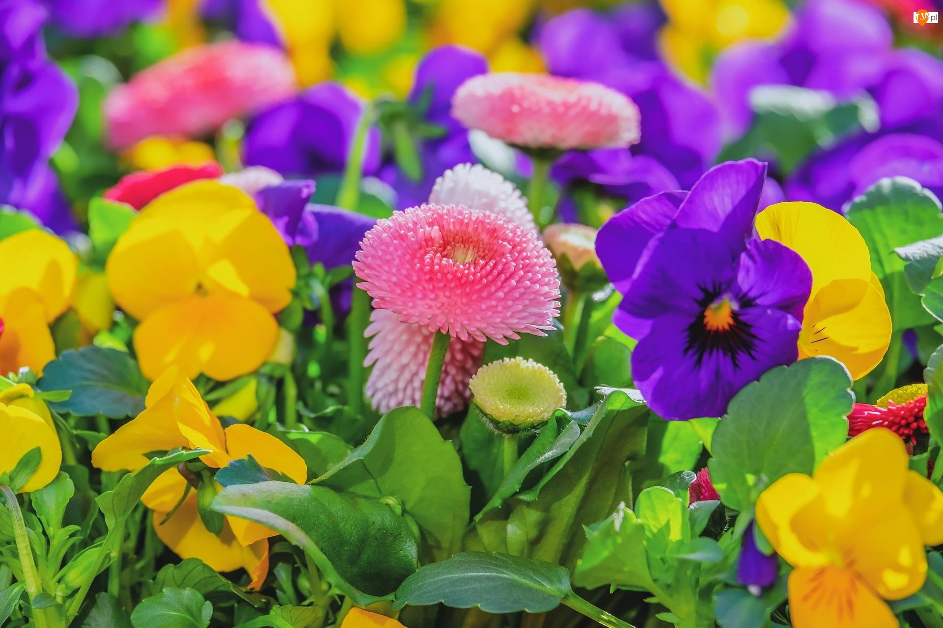 Stokrotki, Kolorowe, Kwiaty, Bratki