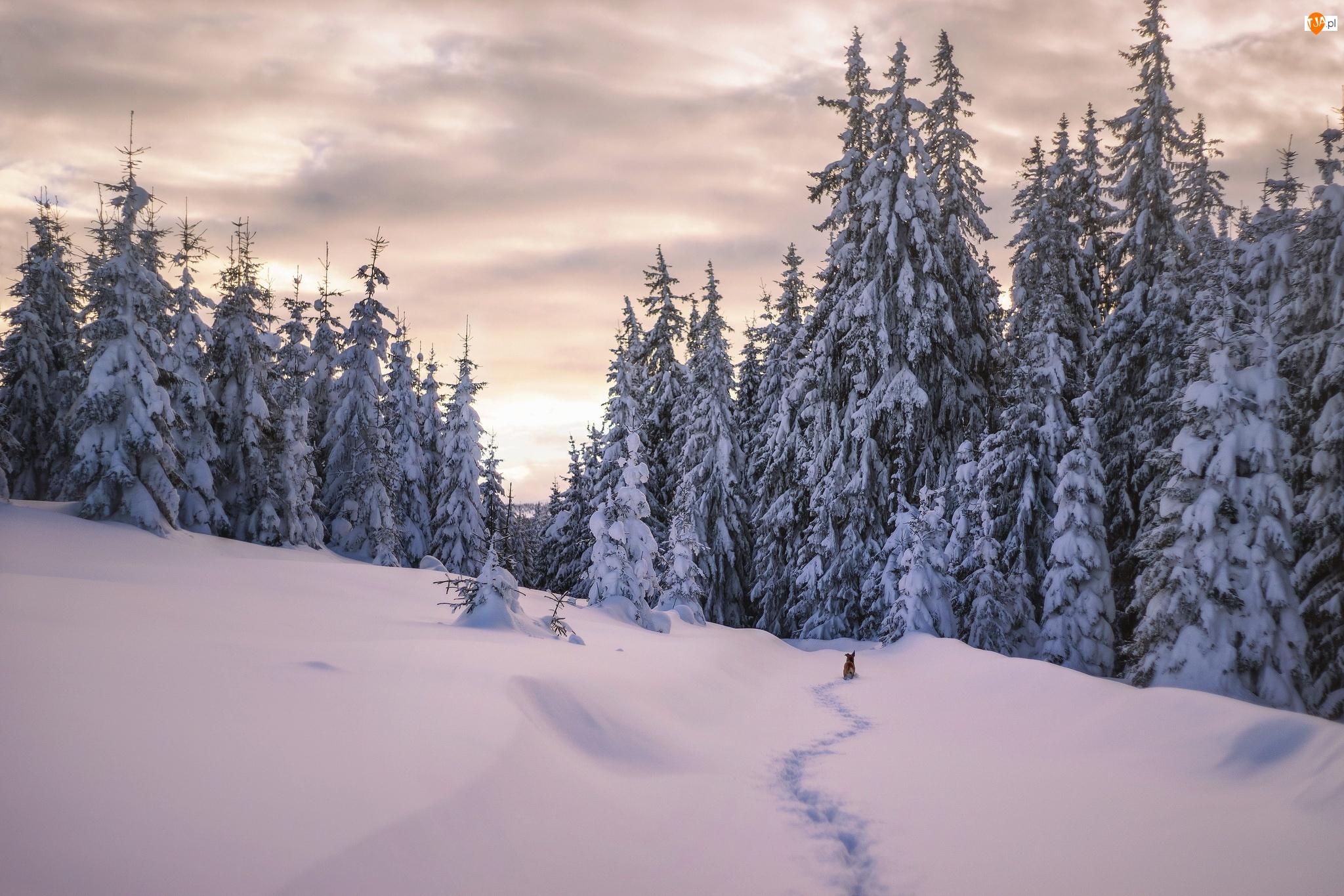 Śnieg, Zima, Pies, Świerki, Ślady, Drzewa