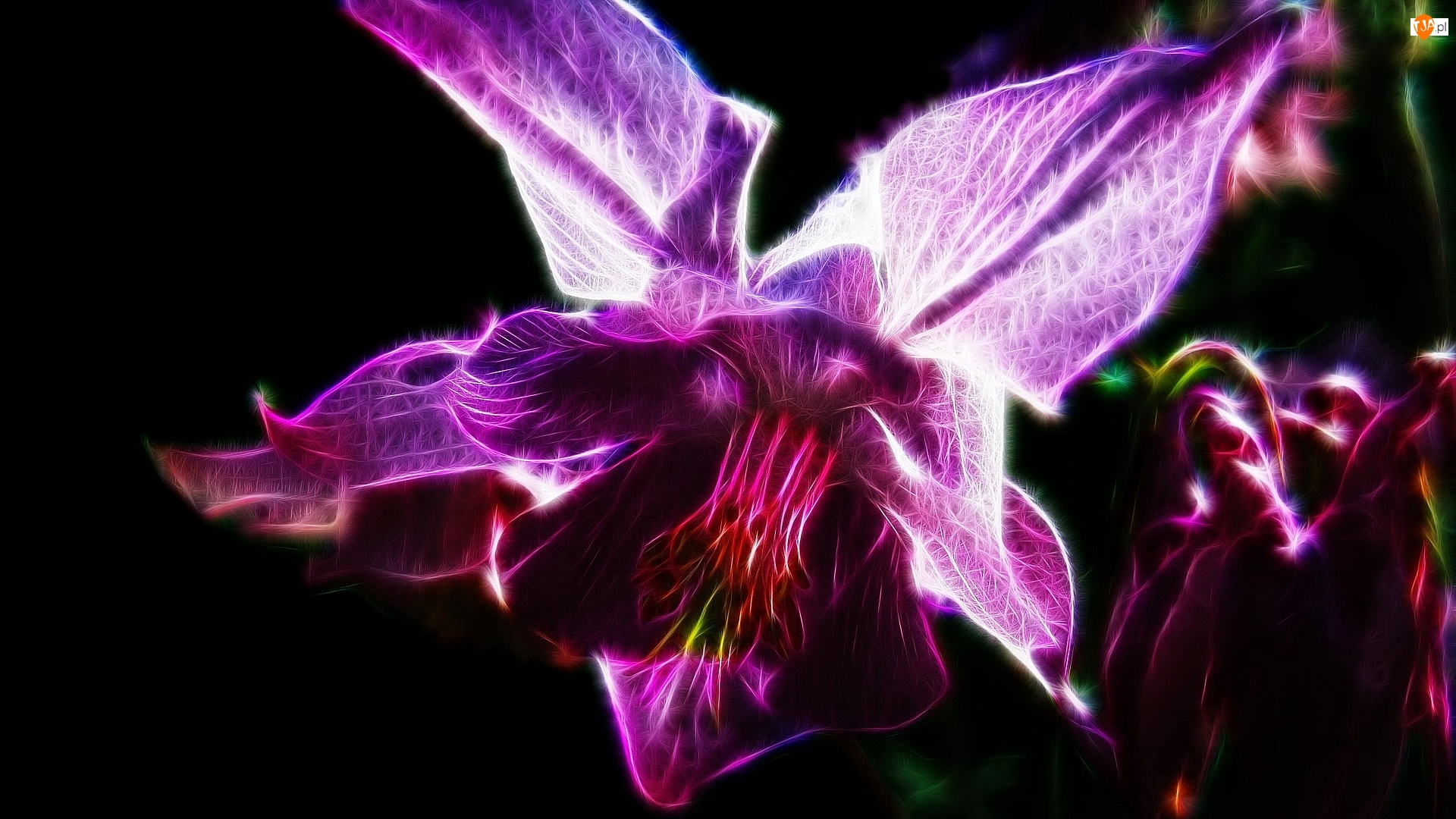 Różowy, Kwiat, Czarne, Fractalius, Orlik, Tło