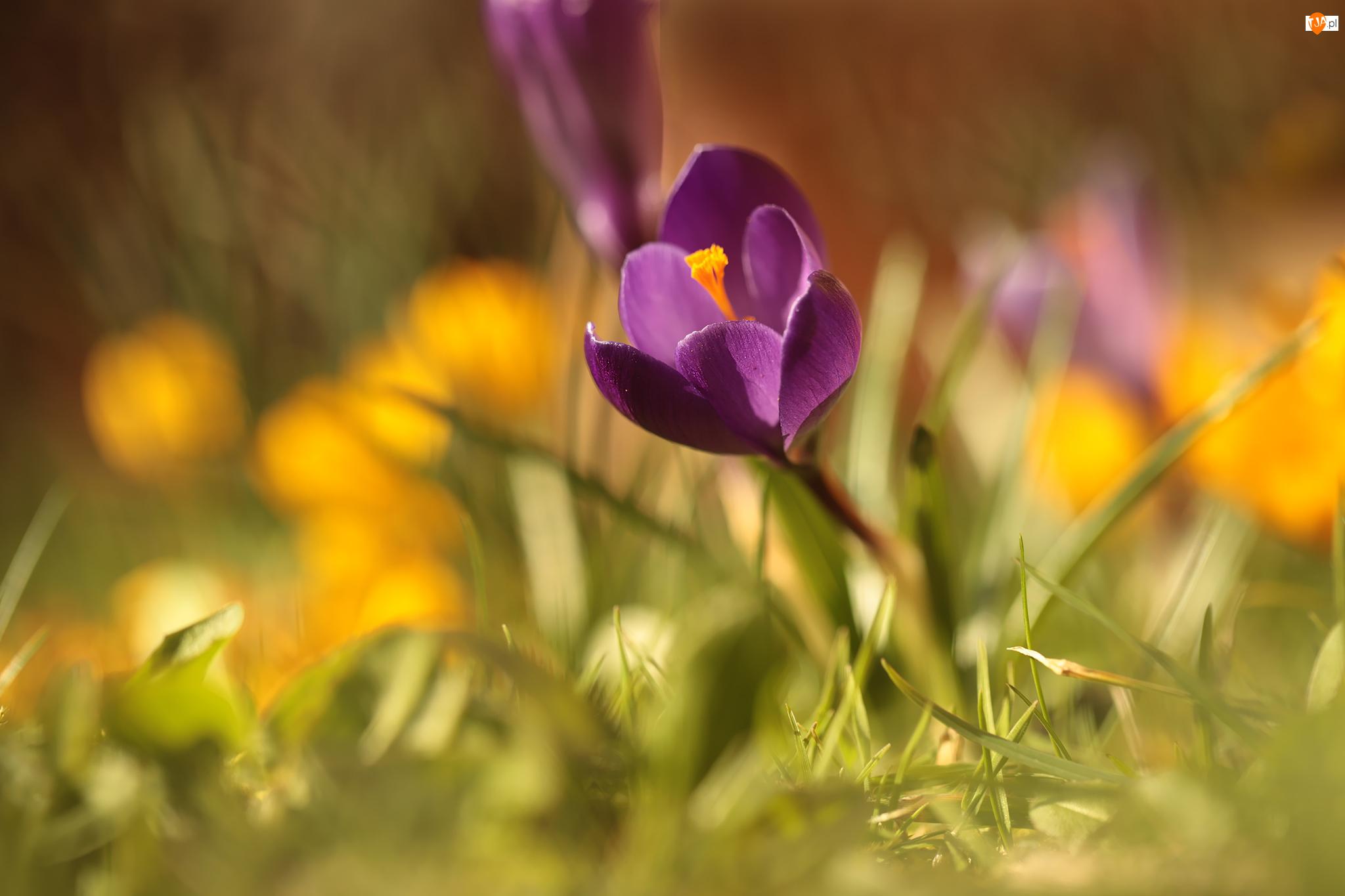 Krokus, Tło, Fioletowy, Kwiatek, Rozmyte