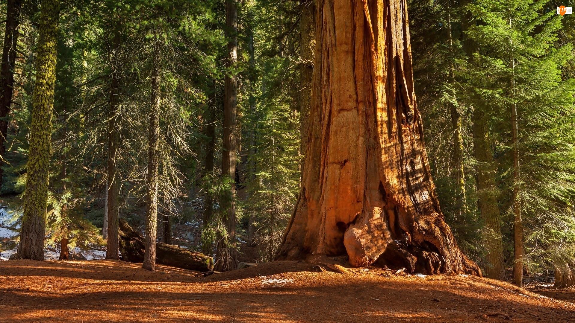 Las, Park Narodowy Kings Canyon, Sekwoja, Stany Zjednoczone, Drzewa, Stan Kalifornia