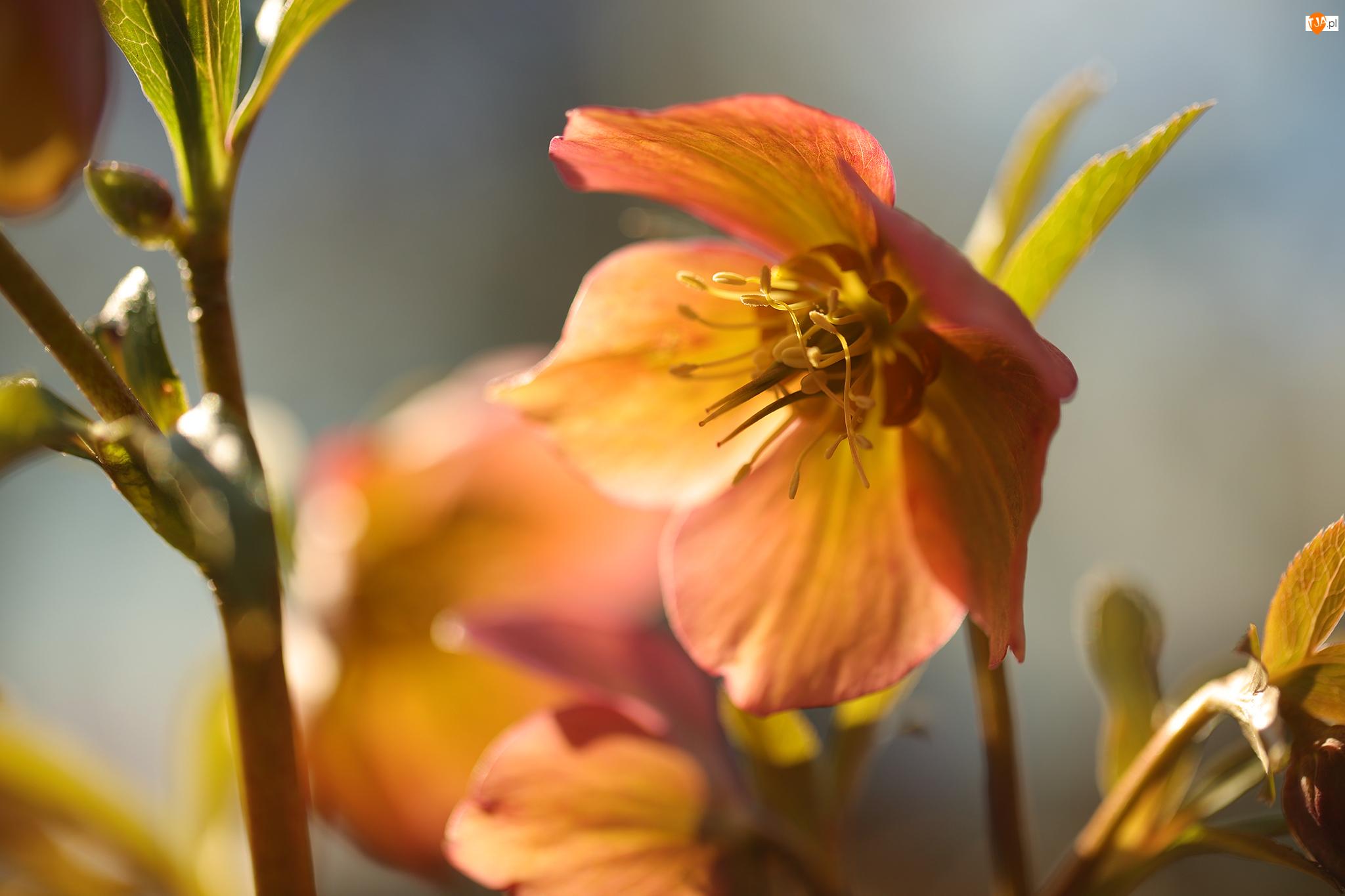 Zbliżenie, Ciemiernik, Kwiat