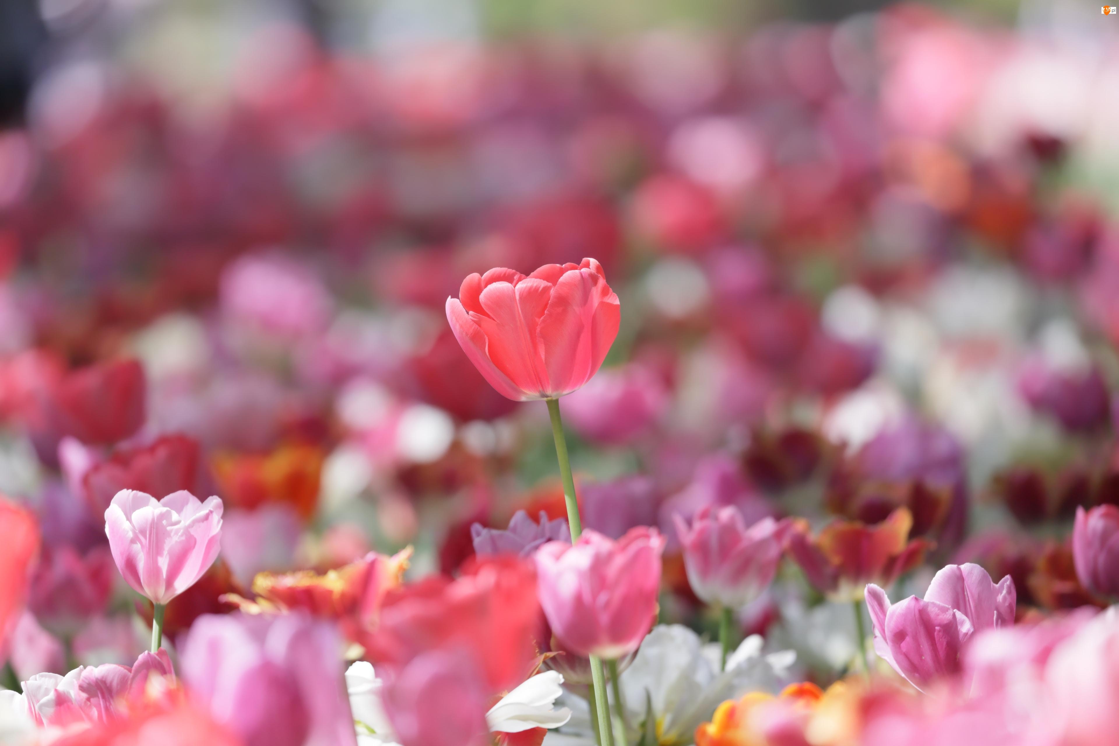 Tulipany, Kolorowe, Rozświetlone