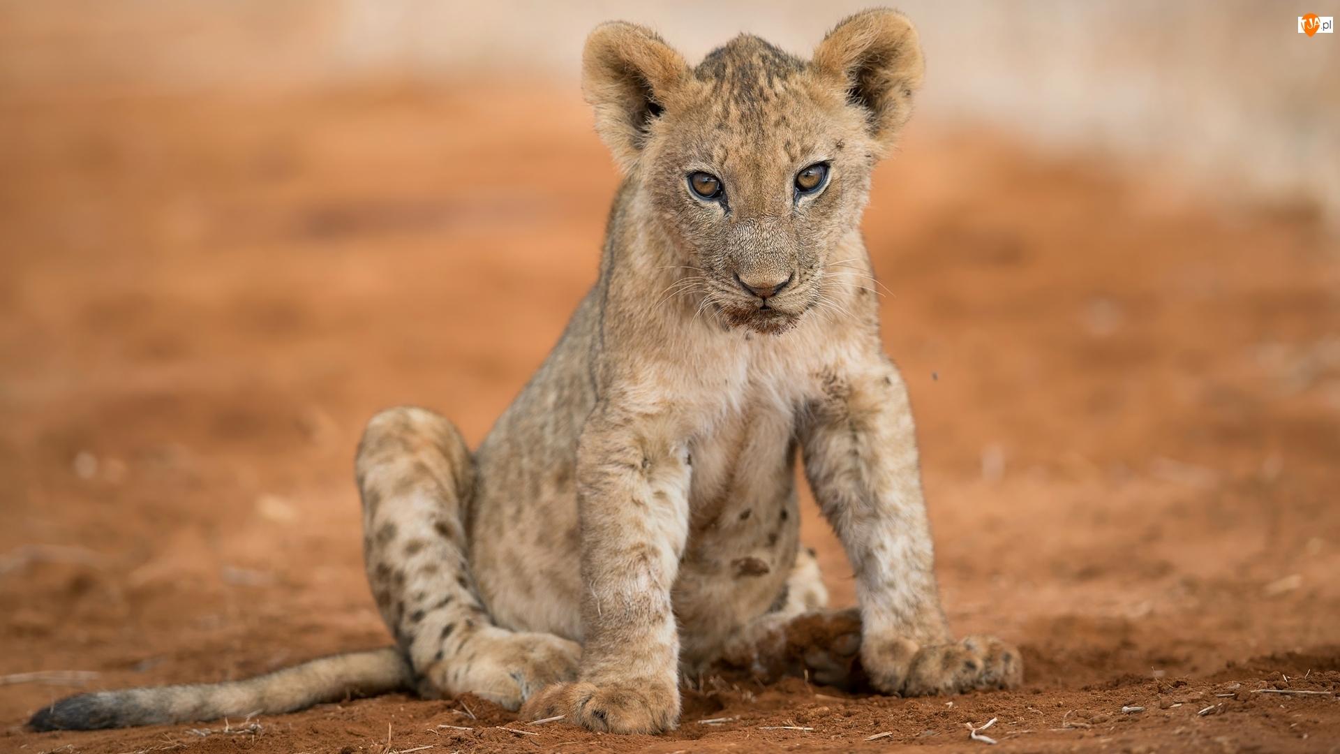 Lwiątko, Siedzące, Małe