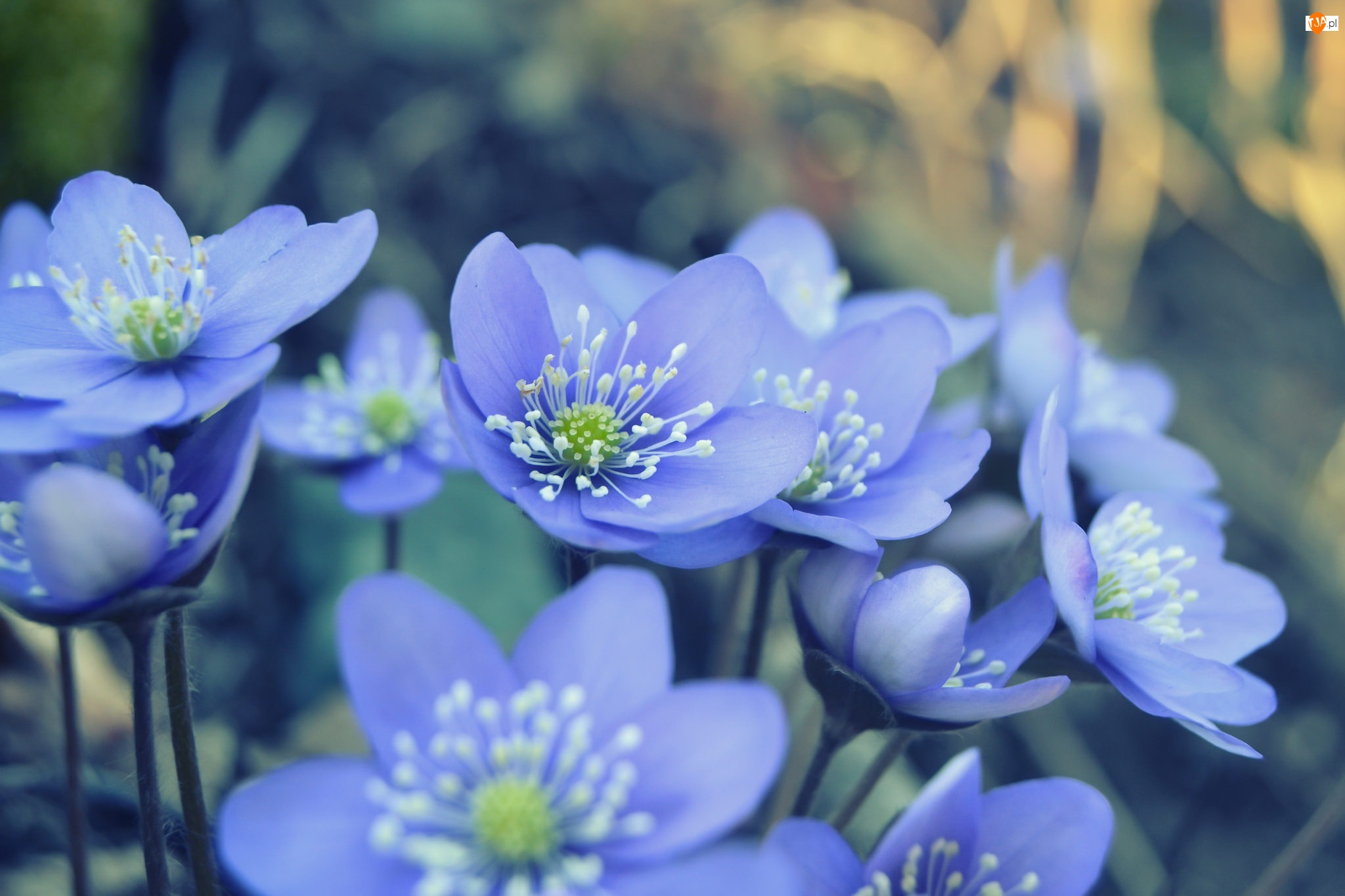 Niebieskie, Kwiaty, Przylaszczki