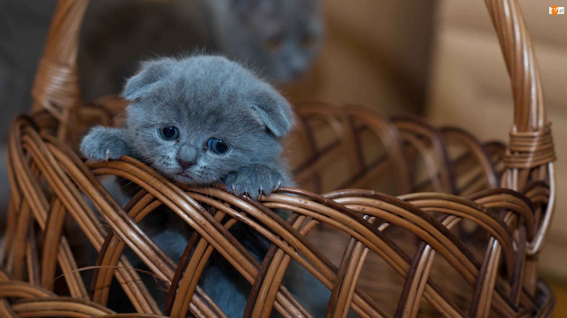 Kot brytyjski krótkowłosy niebieski, Mały