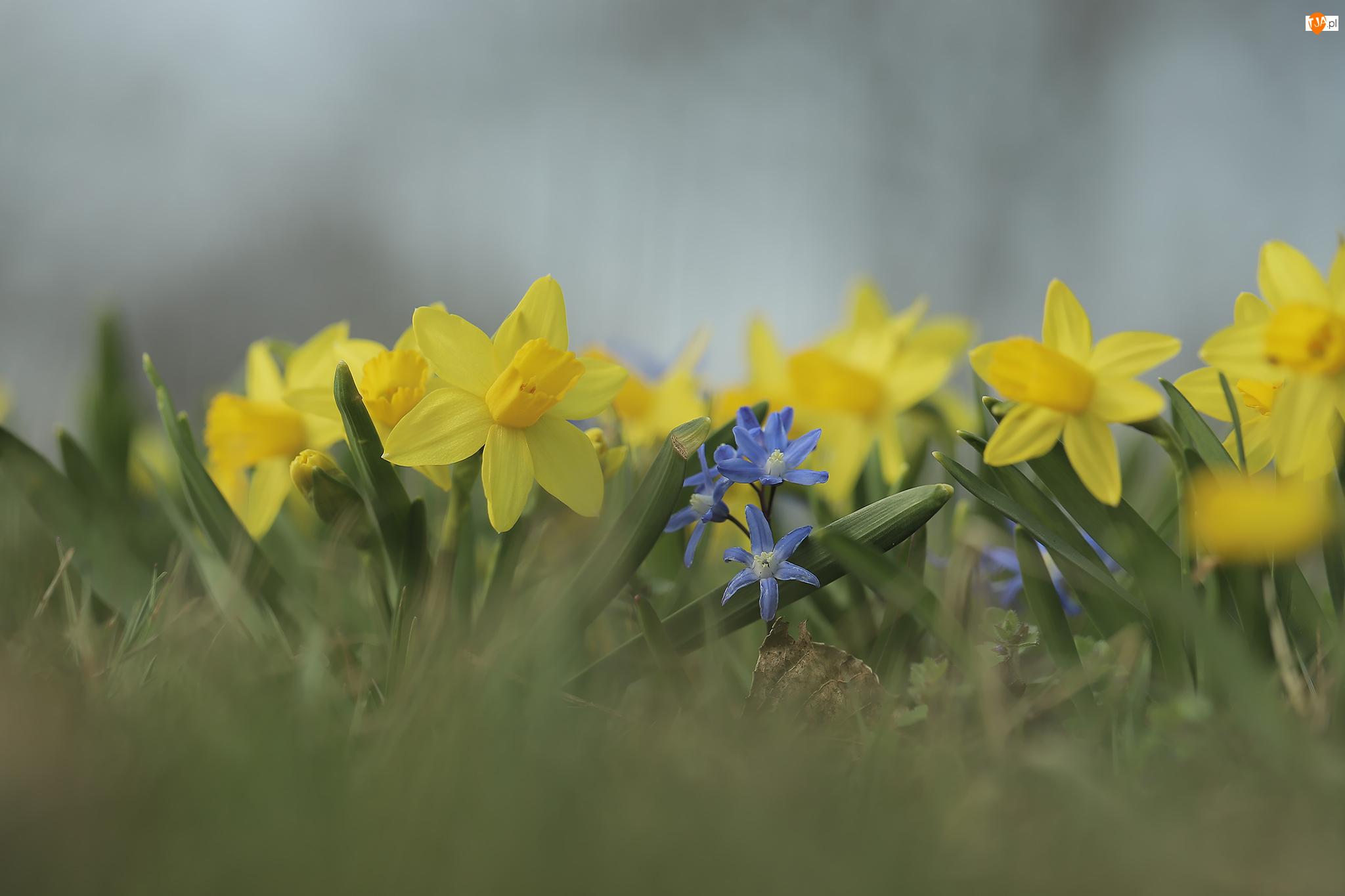 Narcyzy żonkile, Żółte, Kwiaty