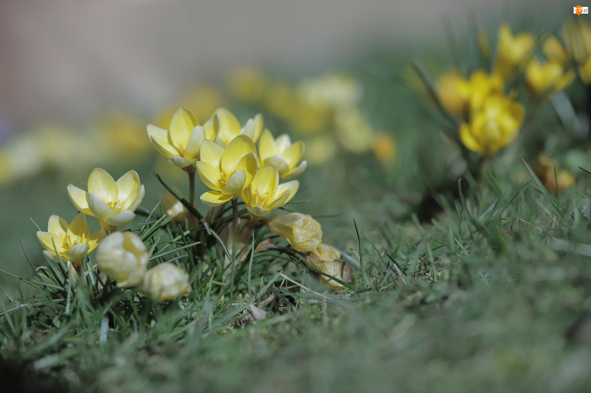 Trawa, Żółte, Krokusy, Kępki
