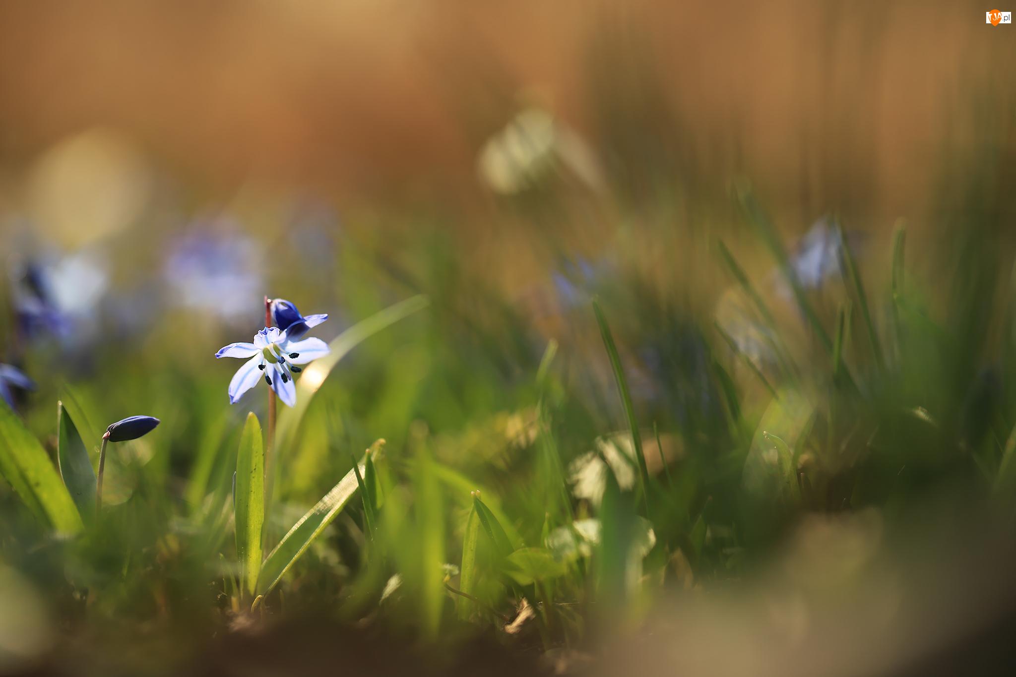 Pąki, Cebulica syberyjska, Niebieski, Kwiat