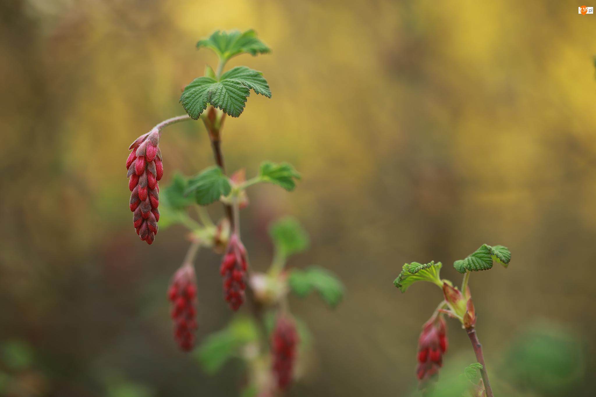 Krzew, Porzeczka krwista, Kwiaty, Pąki