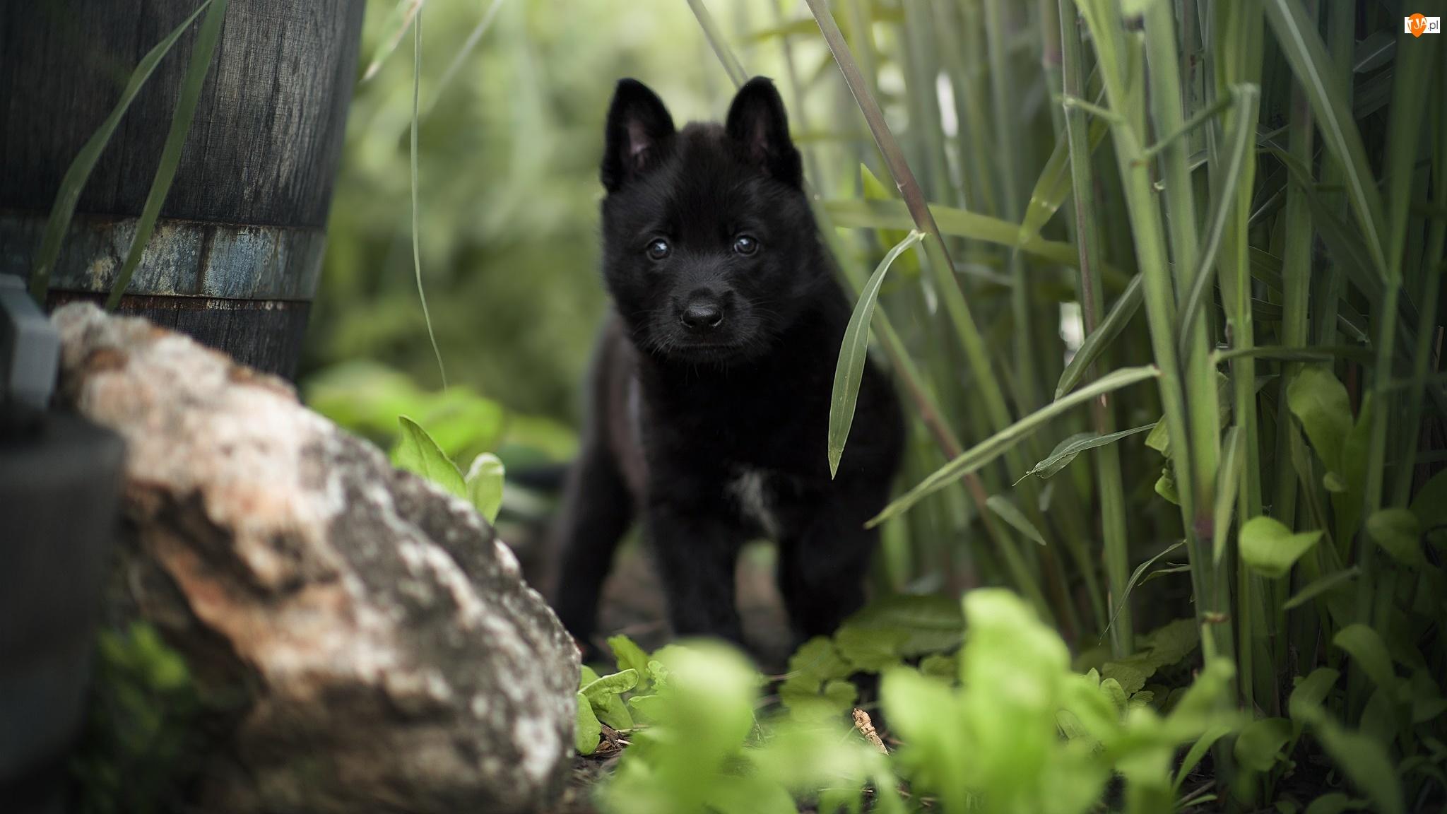 Pies, Czarny, Schipperke, Kamień, Szczeniak, Rośliny