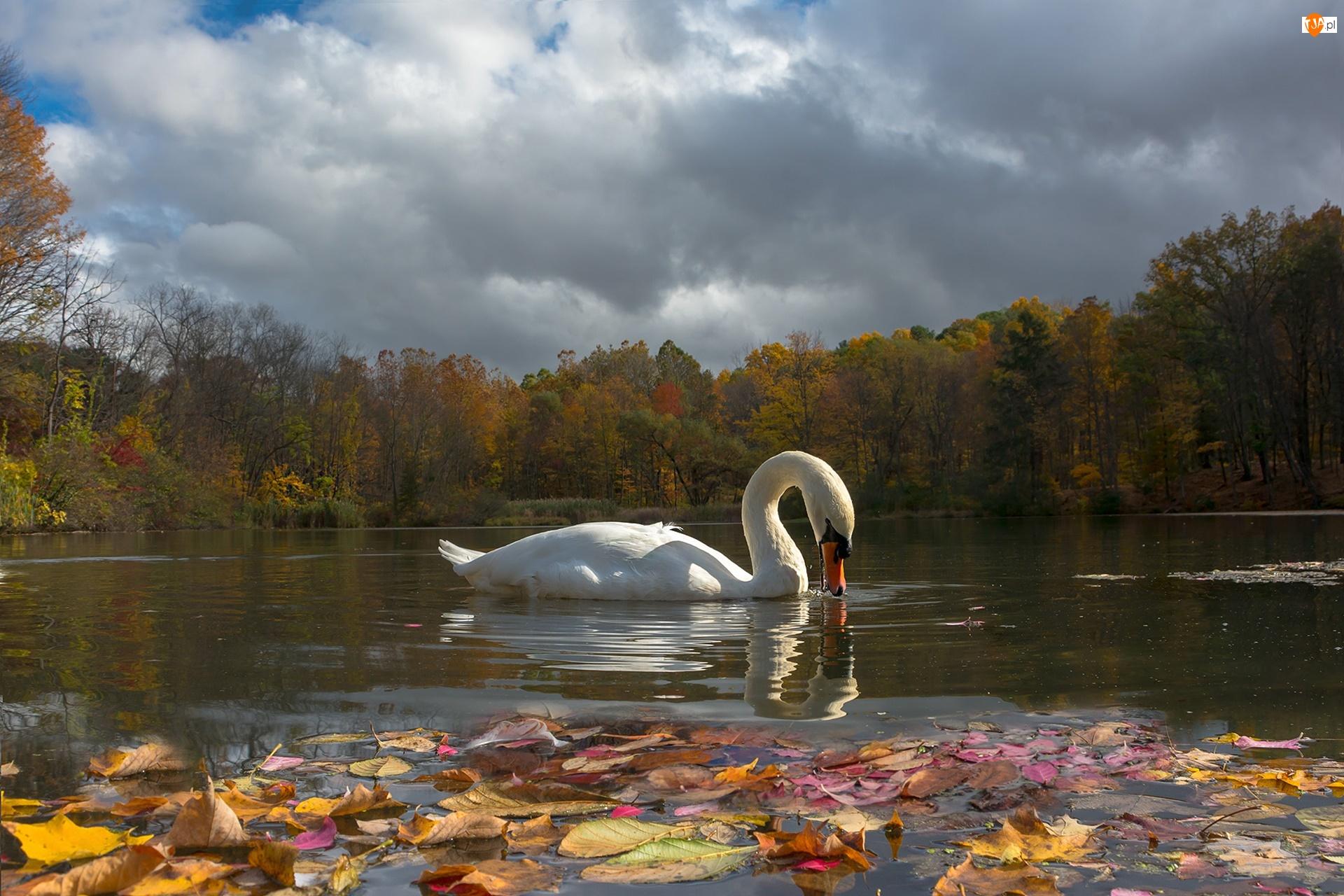 Liście, Jesień, Jezioro, Łabędź, Drzewa