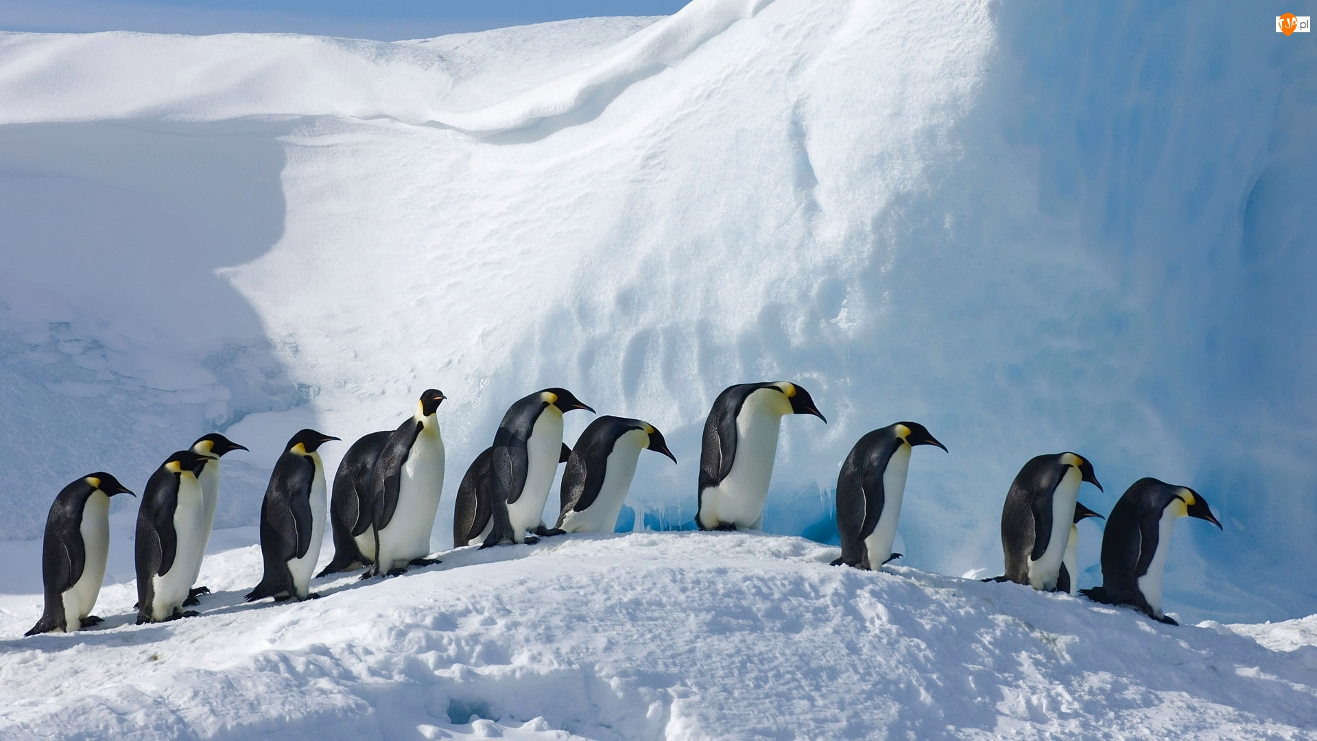 Pingwiny cesarskie, Zima, Śnieg, Ptaki