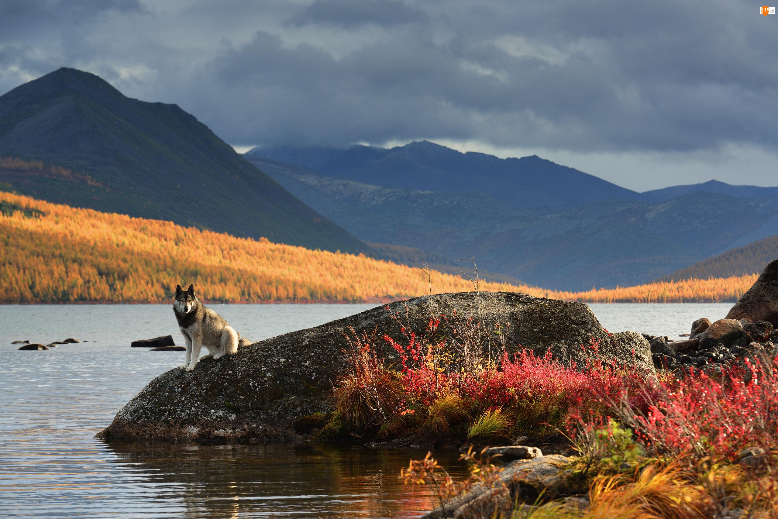 Góry Kołymskie, Jezioro Jack London, Jesień, Rosja, Pies, Kołyma