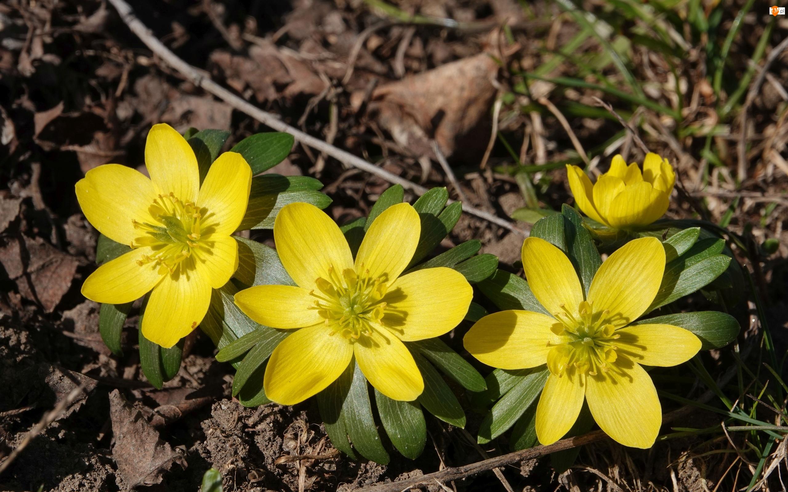Ranniki, Żółte, Kwiaty
