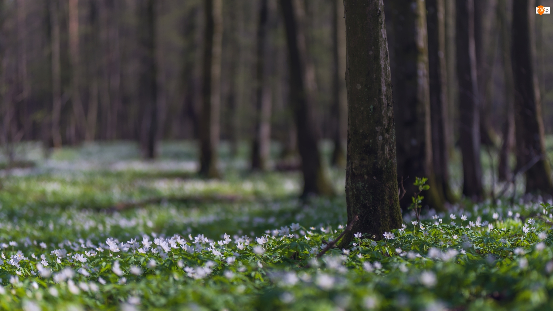 Wiosna, Drzewa, Las, Kwiaty