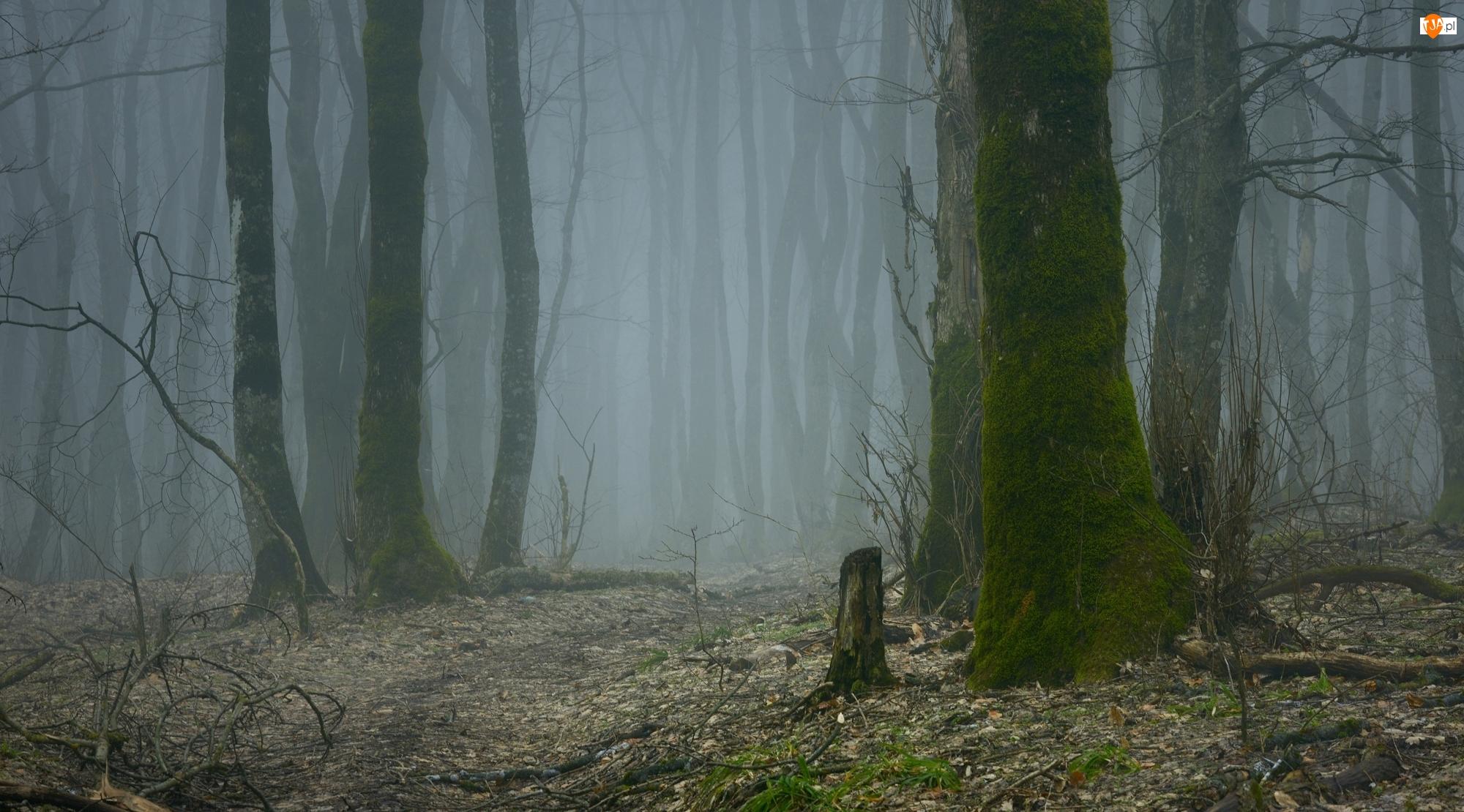Las, Jesień, Omszałe, Mgła, Drzewa, Pnie