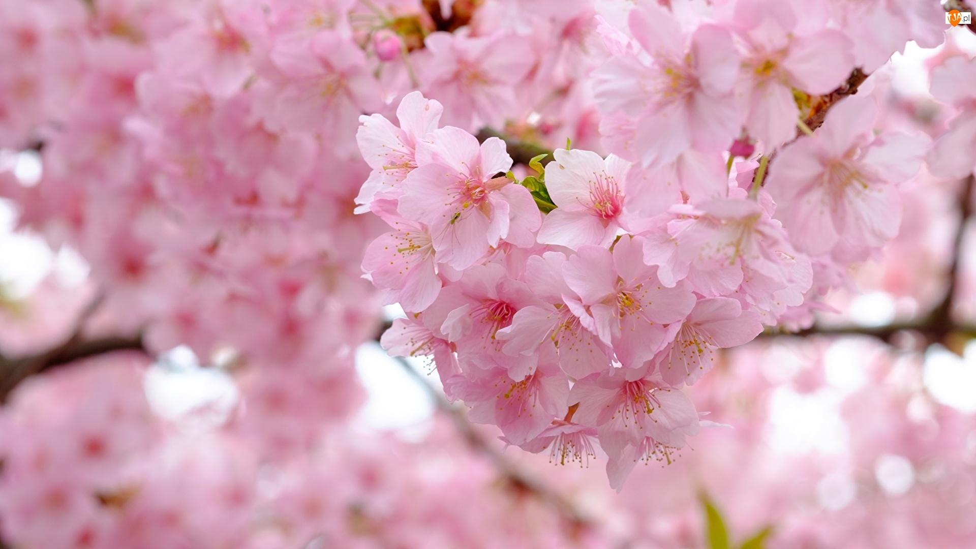 Wiśnia, Kwiaty, Drzewo owocowe, Kwitnące, Gałązka