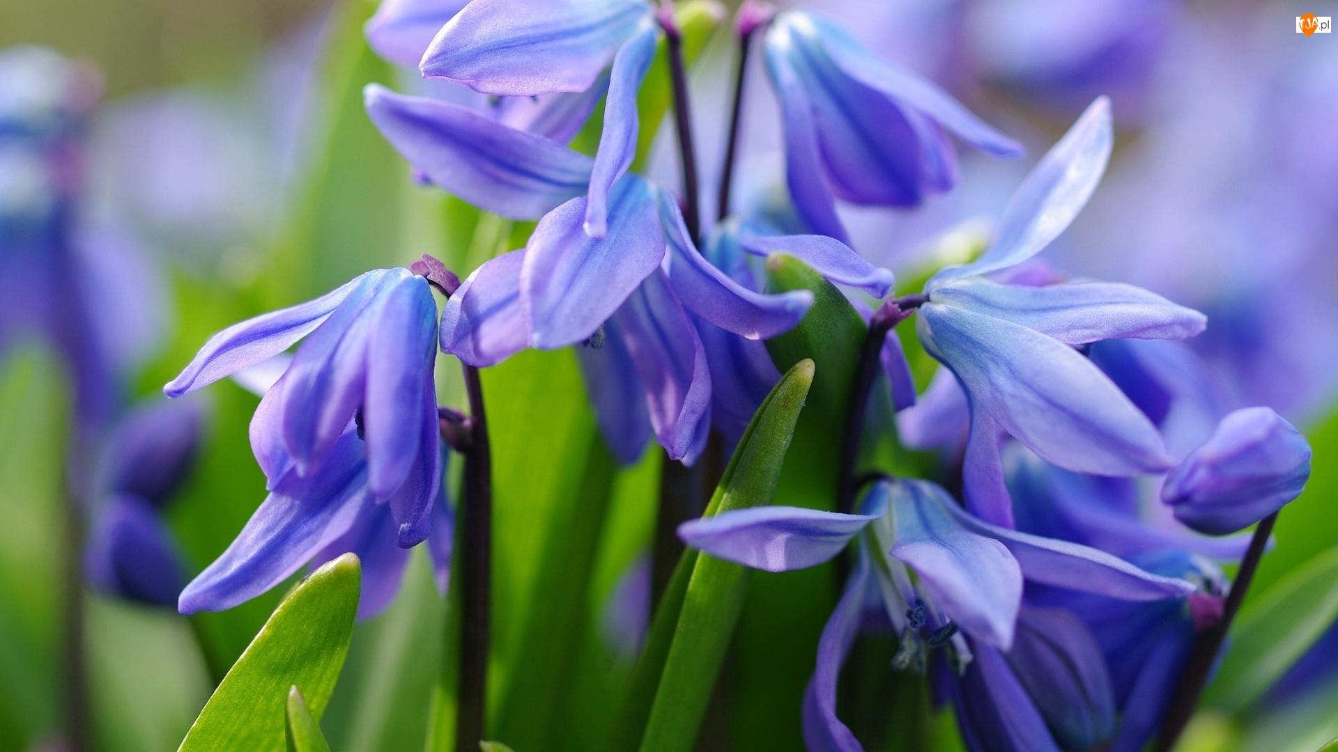 Zbliżenie, Niebieskie, Kwiaty, Cebulica syberyjska