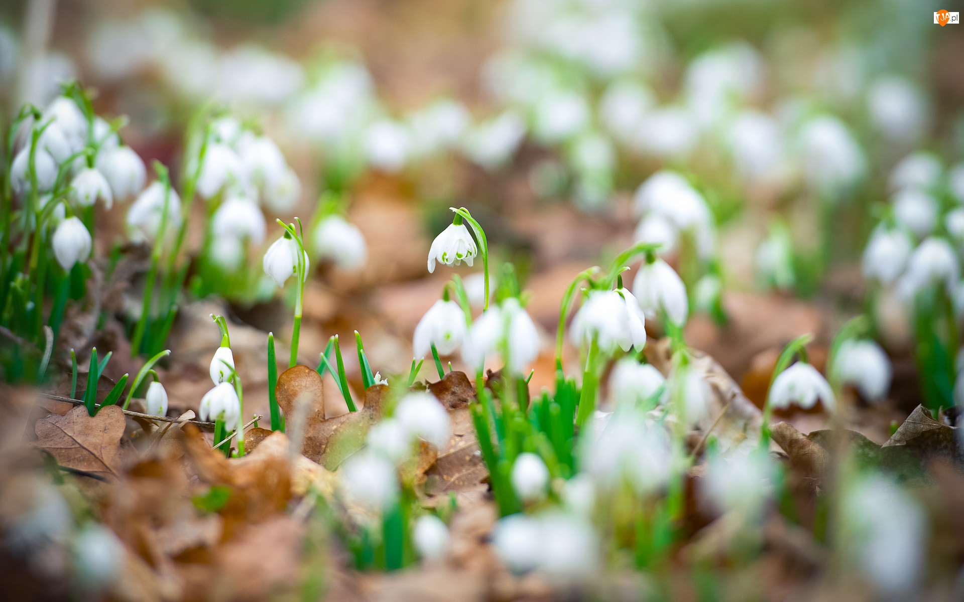 Śnieżyce, Rozmycie, Białe, Kwiaty, Liście