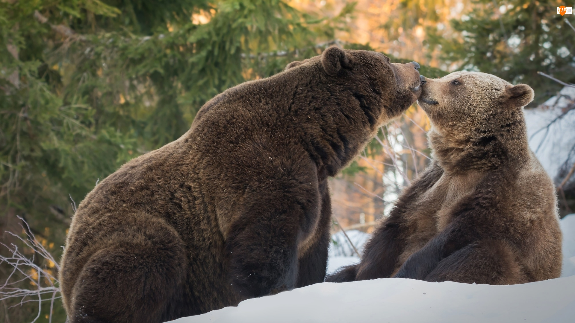 Całus, Dwa, Niedźwiedzie brunatne
