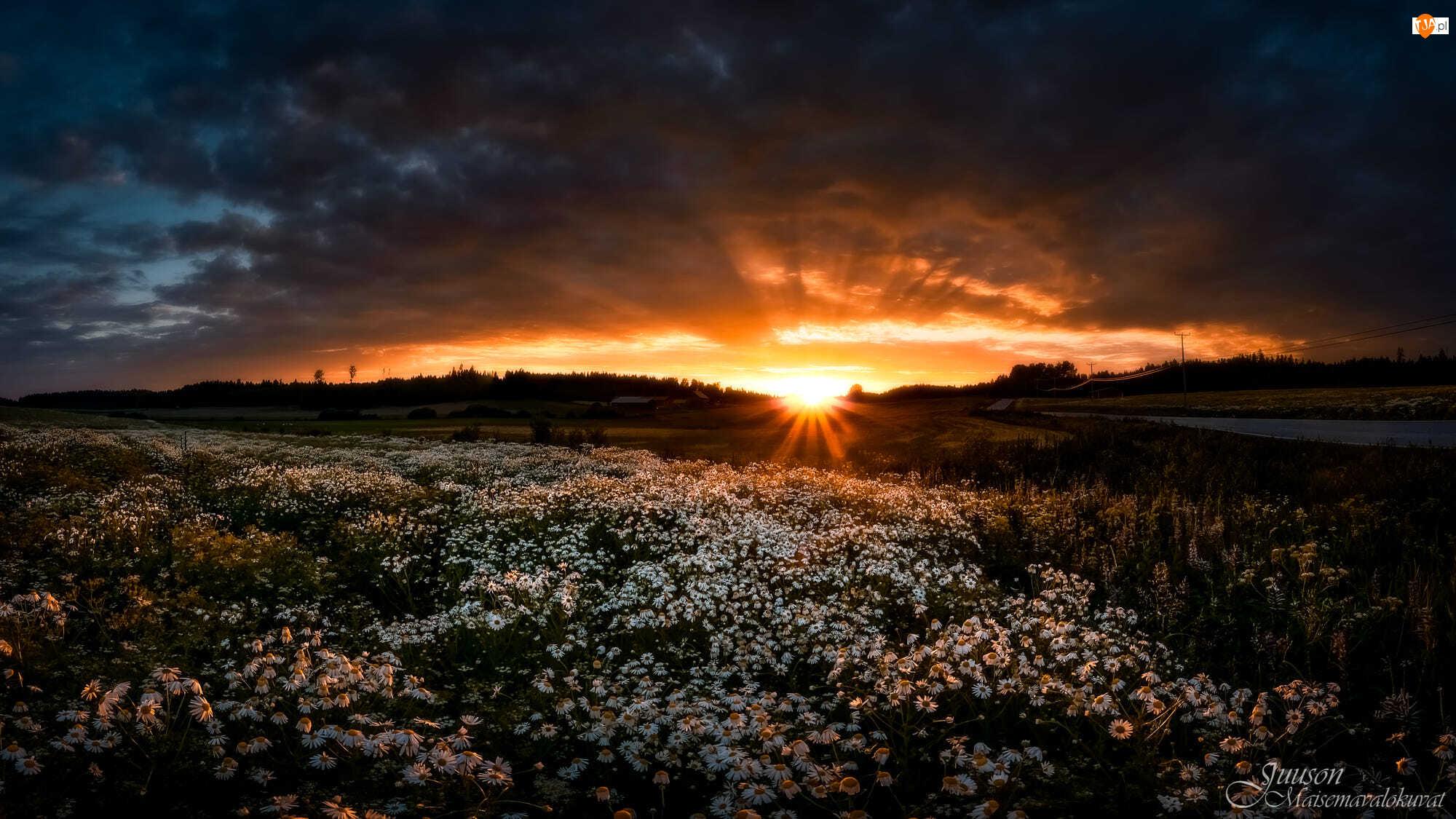 Ciemne, Zachód słońca, Łąka, Rumianek, Chmury, Kwiaty