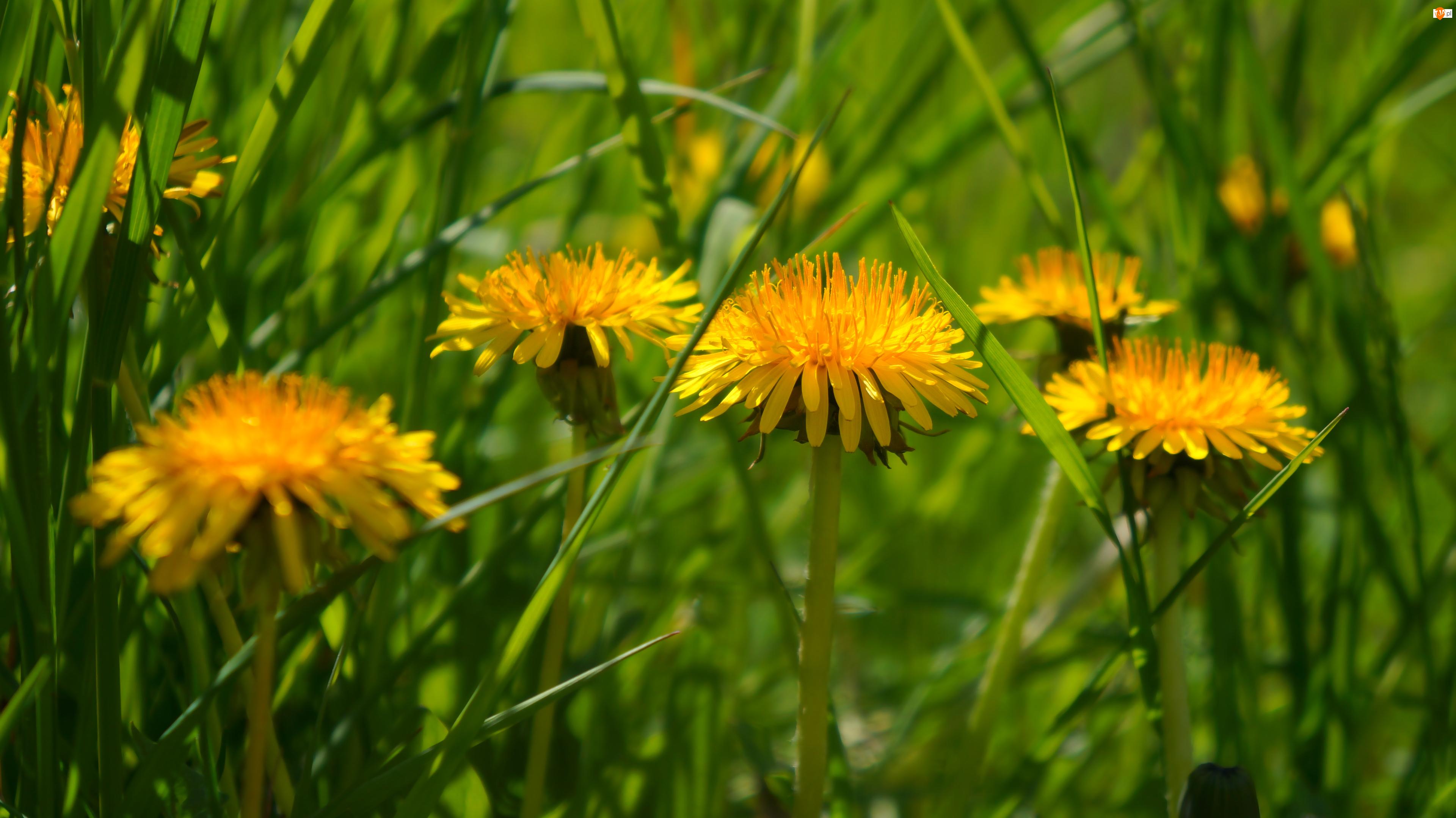 Pospolity, Żółte, Kwiaty, Mniszek lekarski