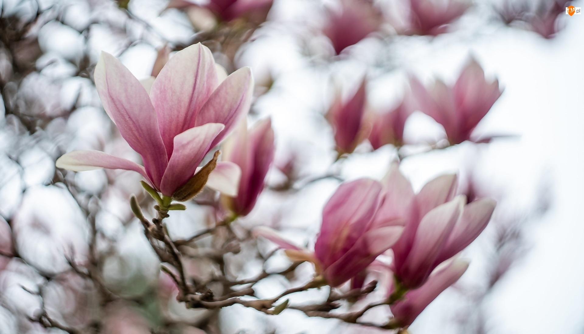 Magnolie, Gałęzie, Bladoróżowe, Kwiaty