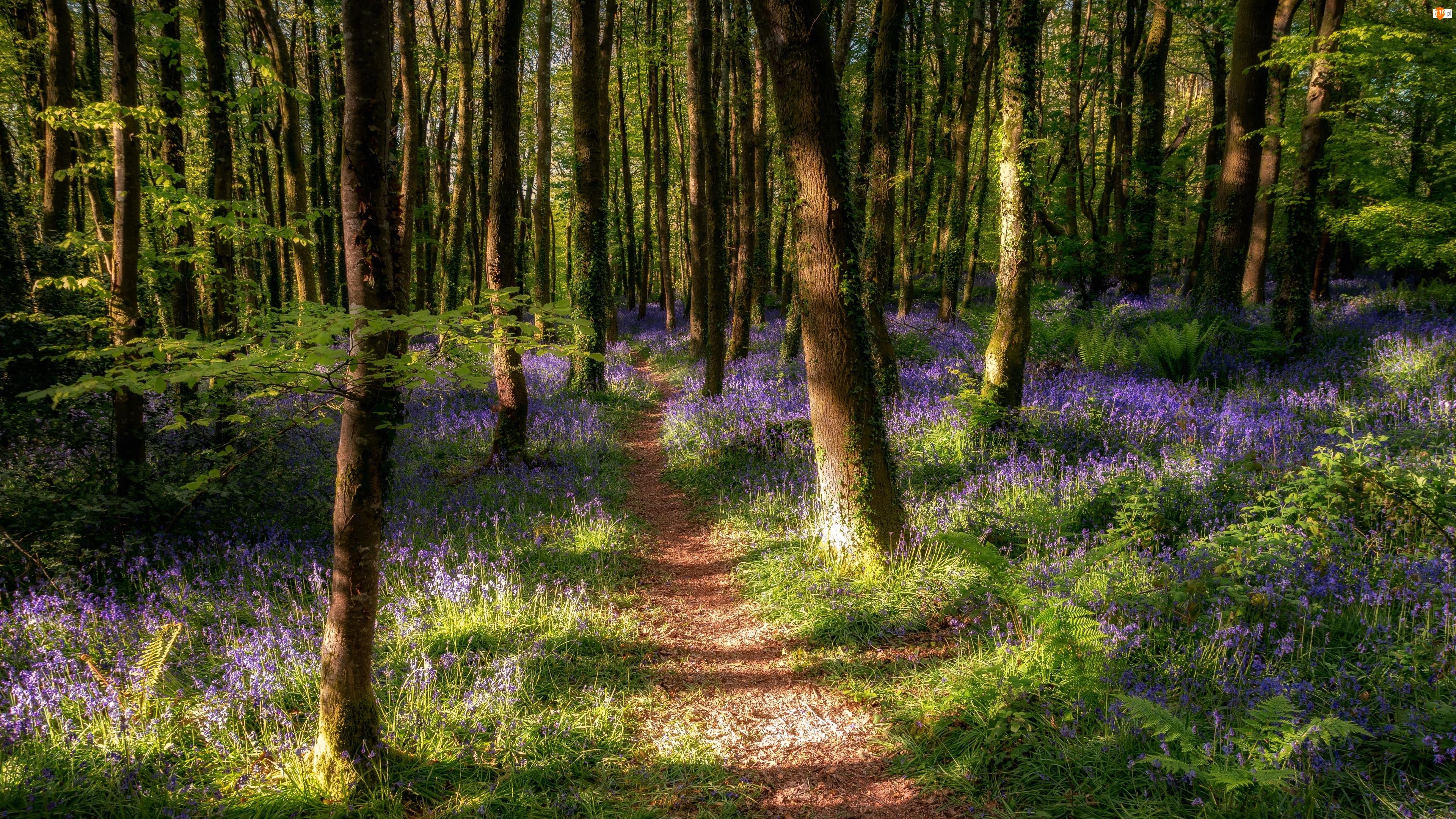 Ścieżka, Wiosna, Drzewa, Las, Kwiaty