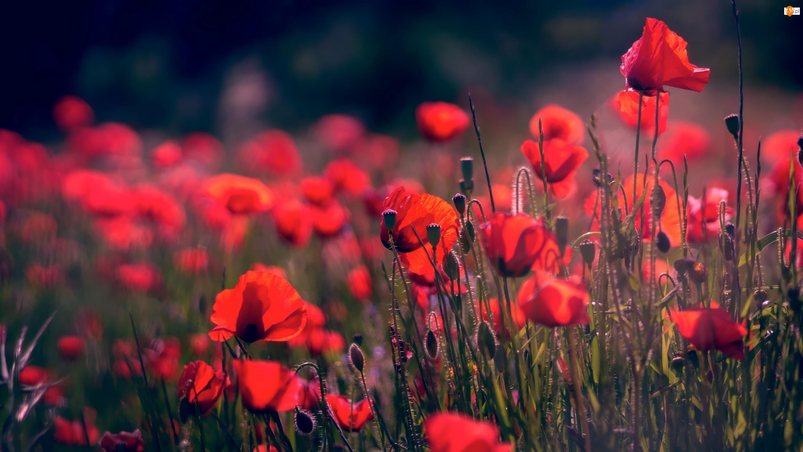 Pąki, Kwiaty, Maki, Tło, Czerwone, Rozmyte