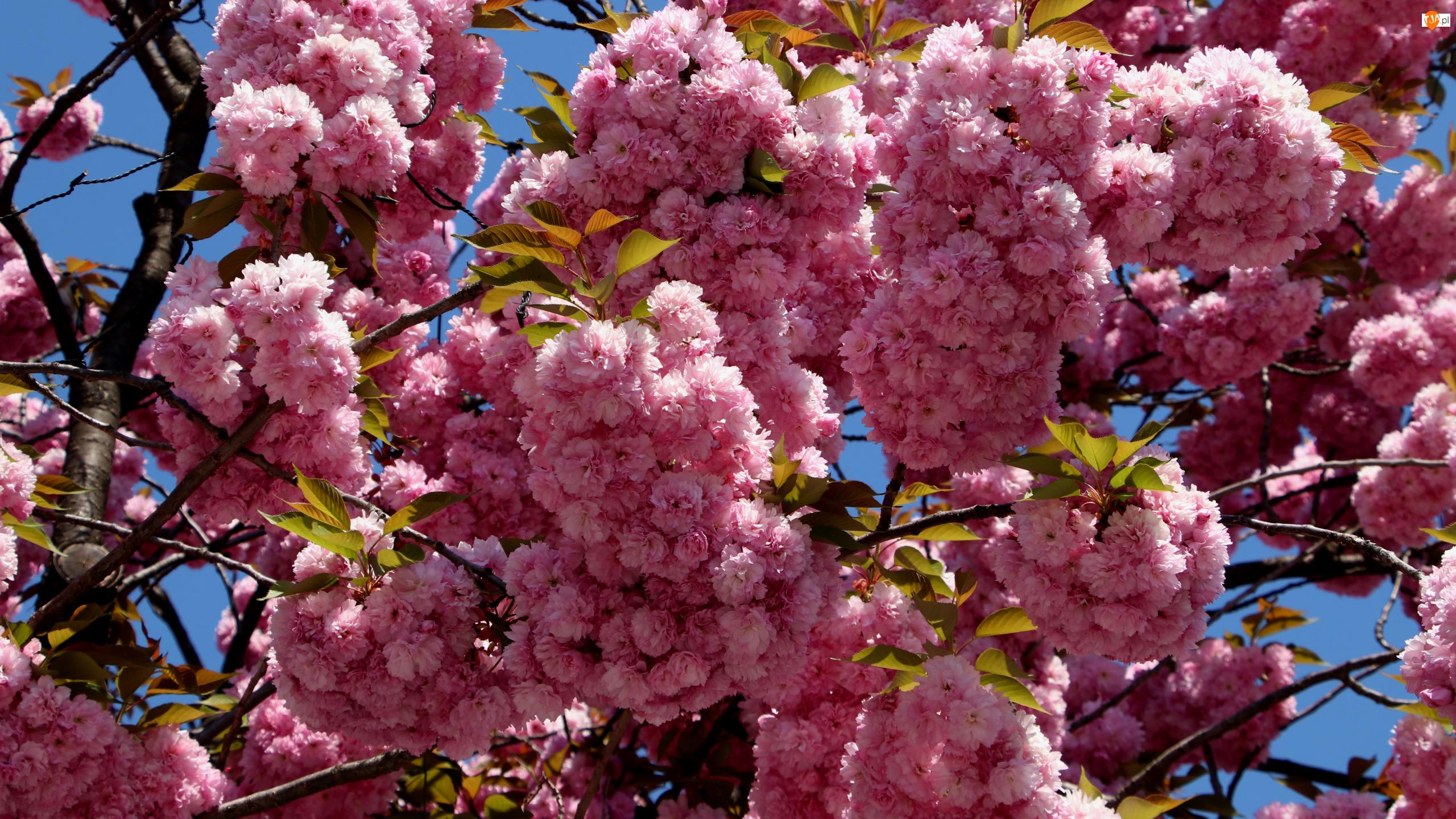 Wiśnia japońska, Kwiaty, Drzewo owocowe, Gałązki