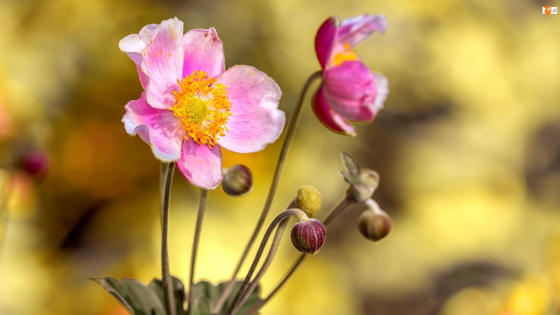 Pąki, Różowe, Zawilce japońskie