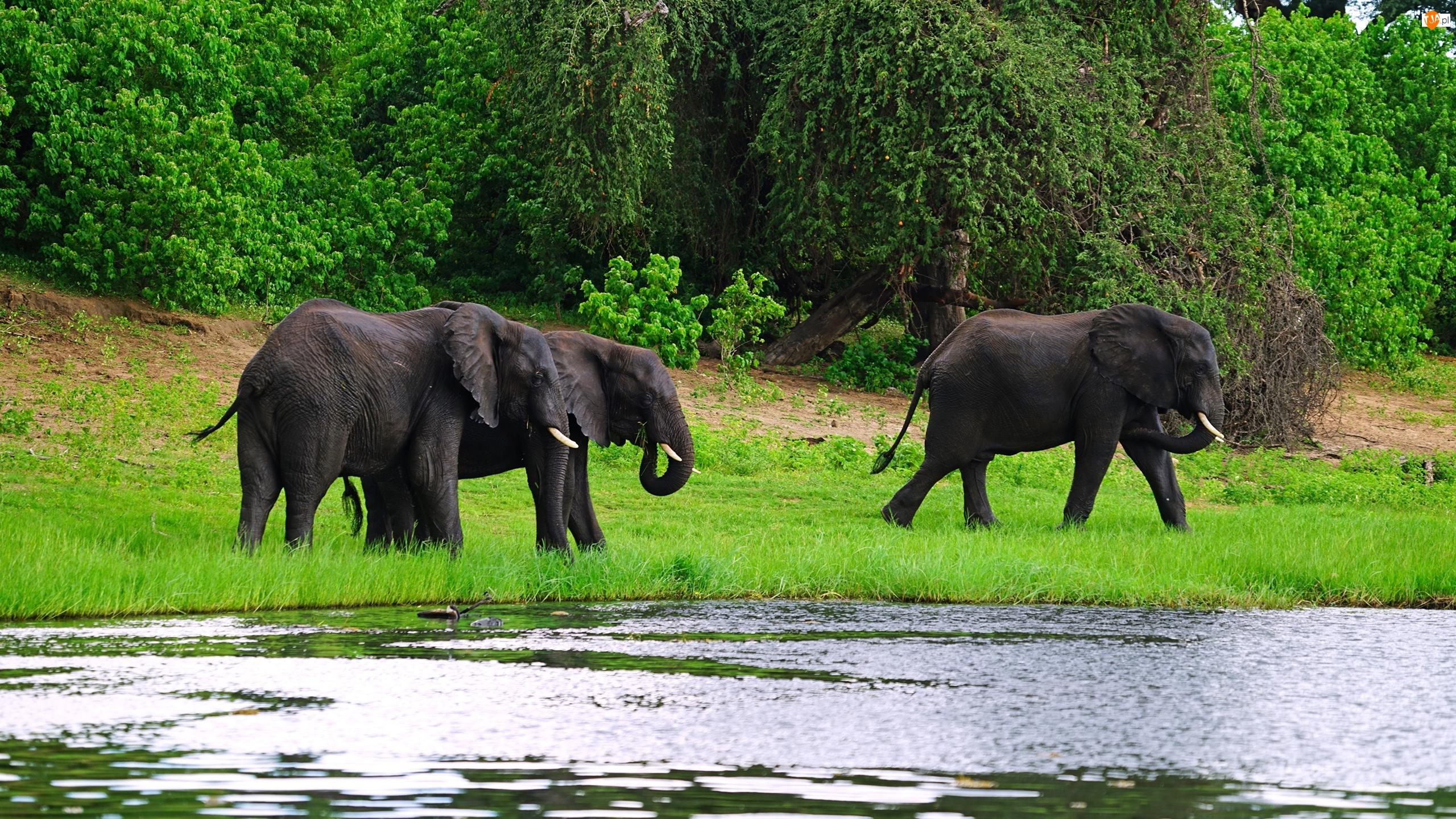 Drzewa, Słonie, Rzeka, Las