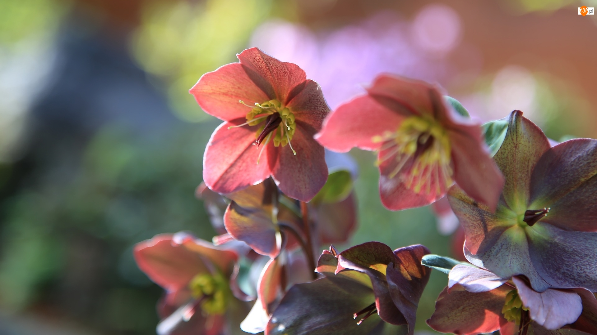 Zbliżenie, Kwiaty, Ciemiernik
